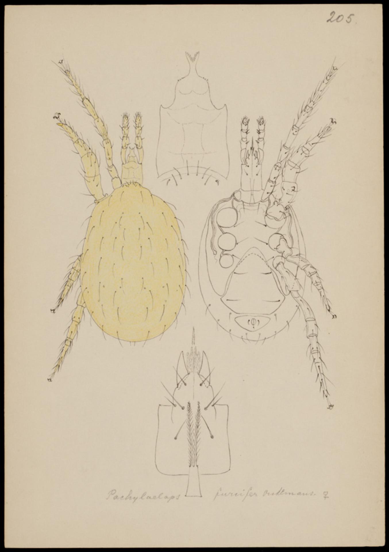 RMNH.ART.1051 | Pachylaelaps furcifer (Oudemans)