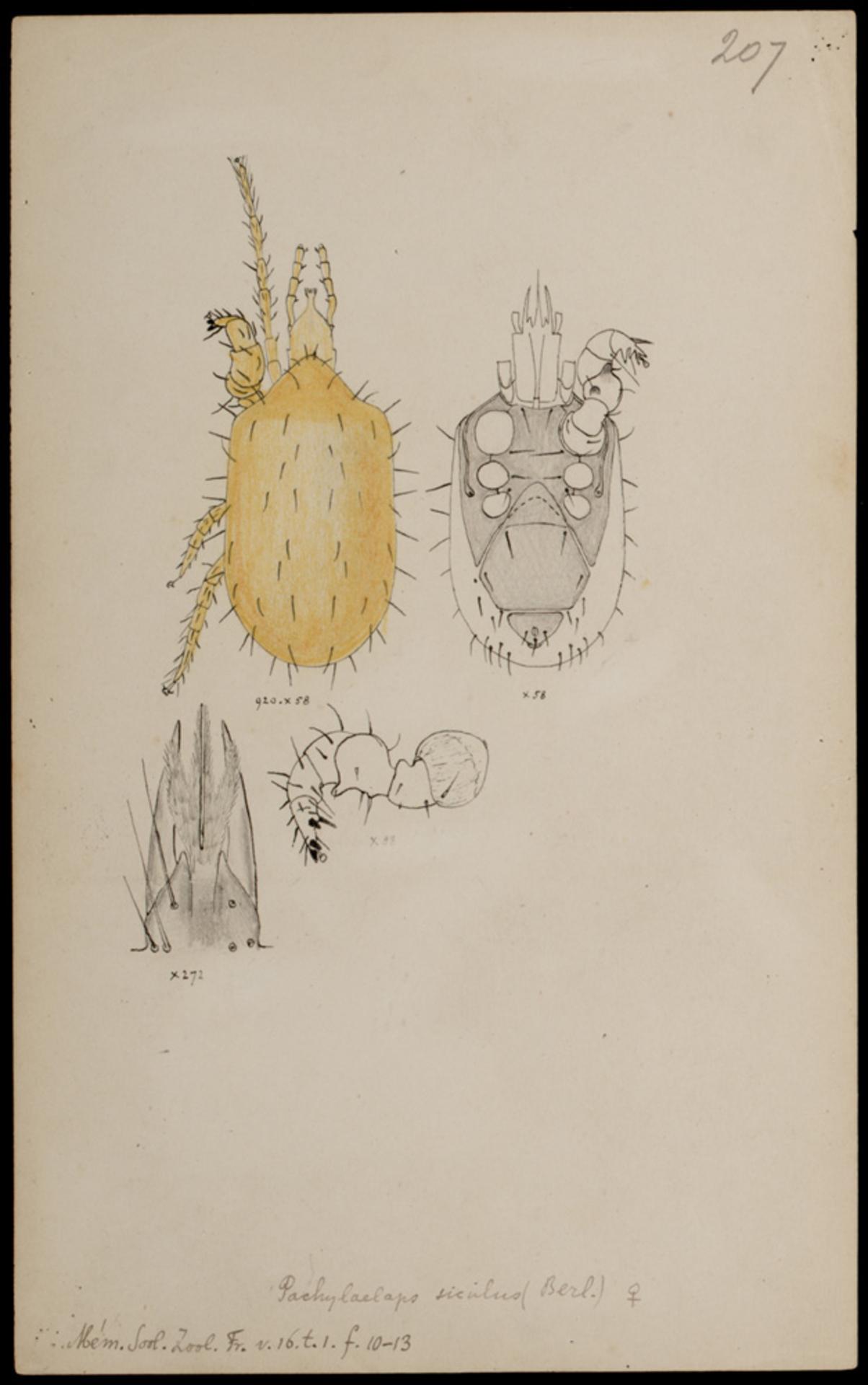 RMNH.ART.1053 | Pachylaelaps siculus (Berlese)