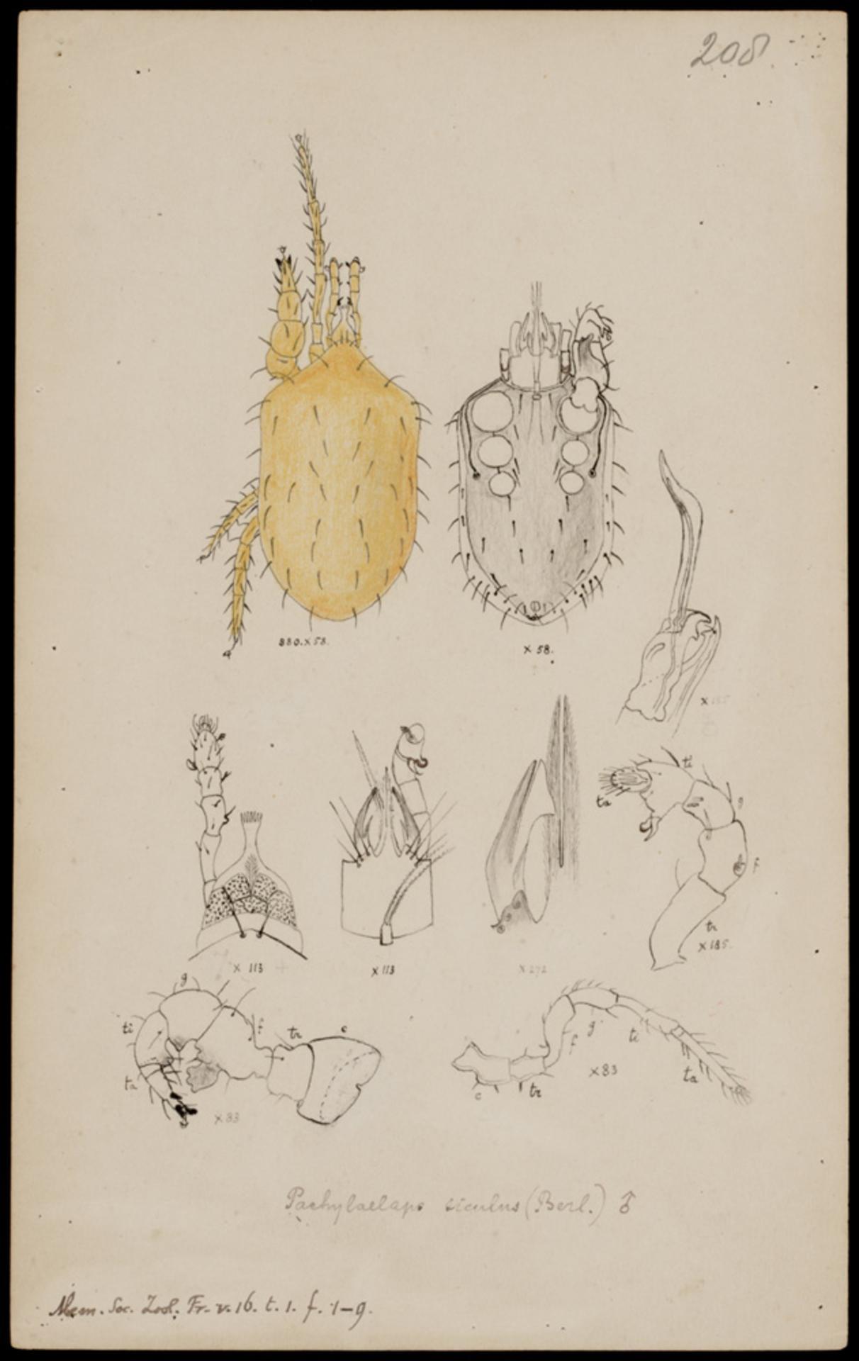 RMNH.ART.1054 | Pachylaelaps siculus (Berlese)