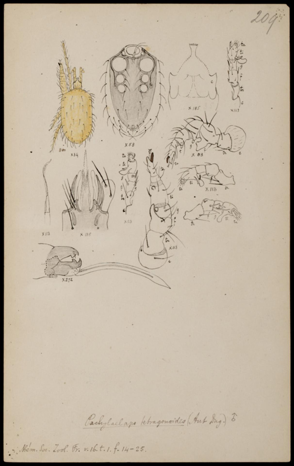 RMNH.ART.1055 | Pachylaelaps tetragonoides (Dugès)