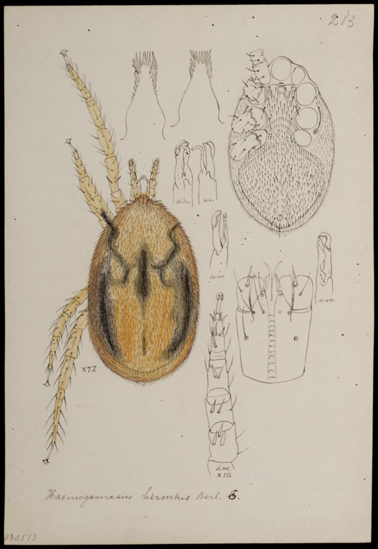 RMNH.ART.1059 | Haemogamasus hirsutus (Berlese)