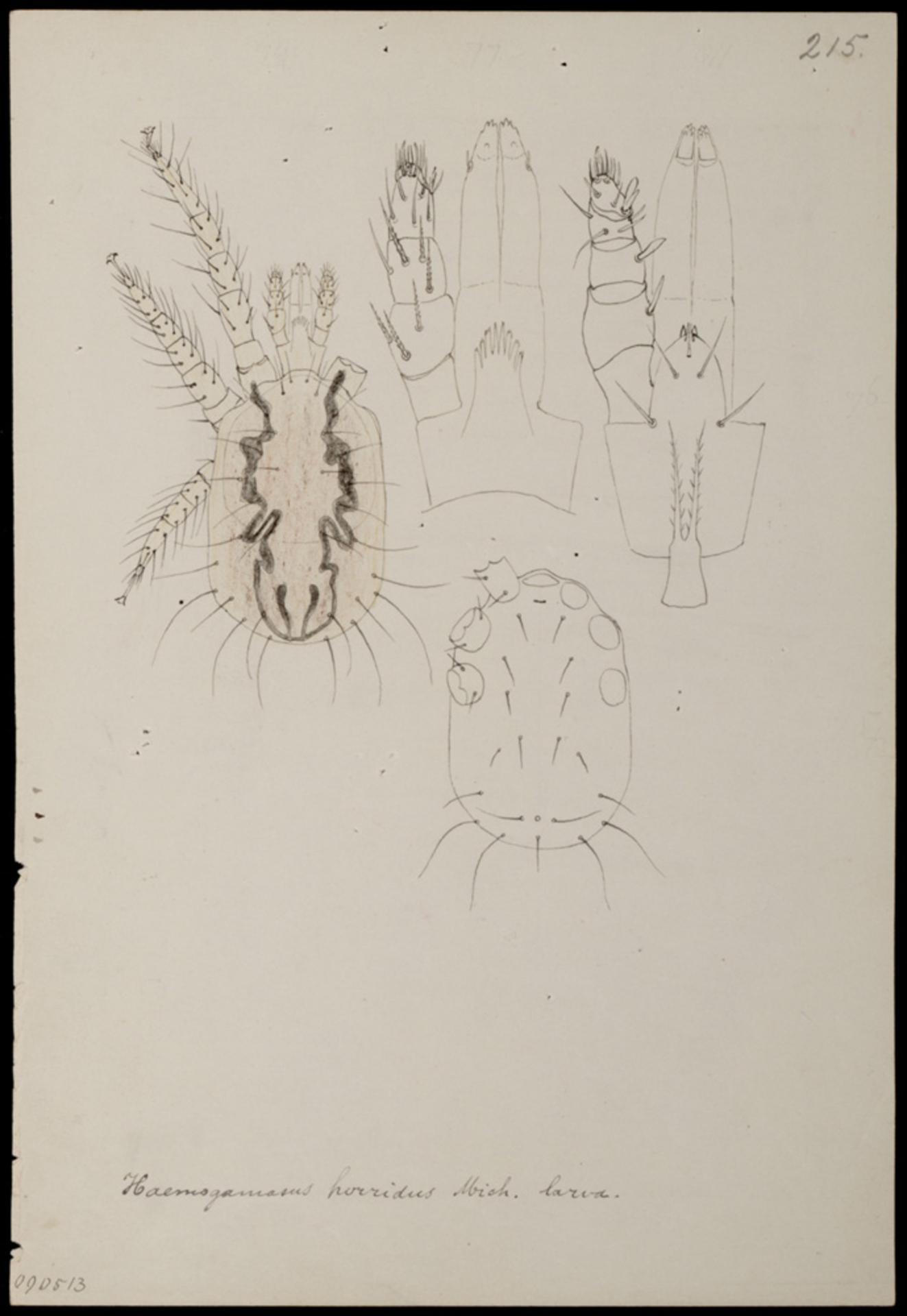 RMNH.ART.1061 | Haemogamasus horridus (Michael)