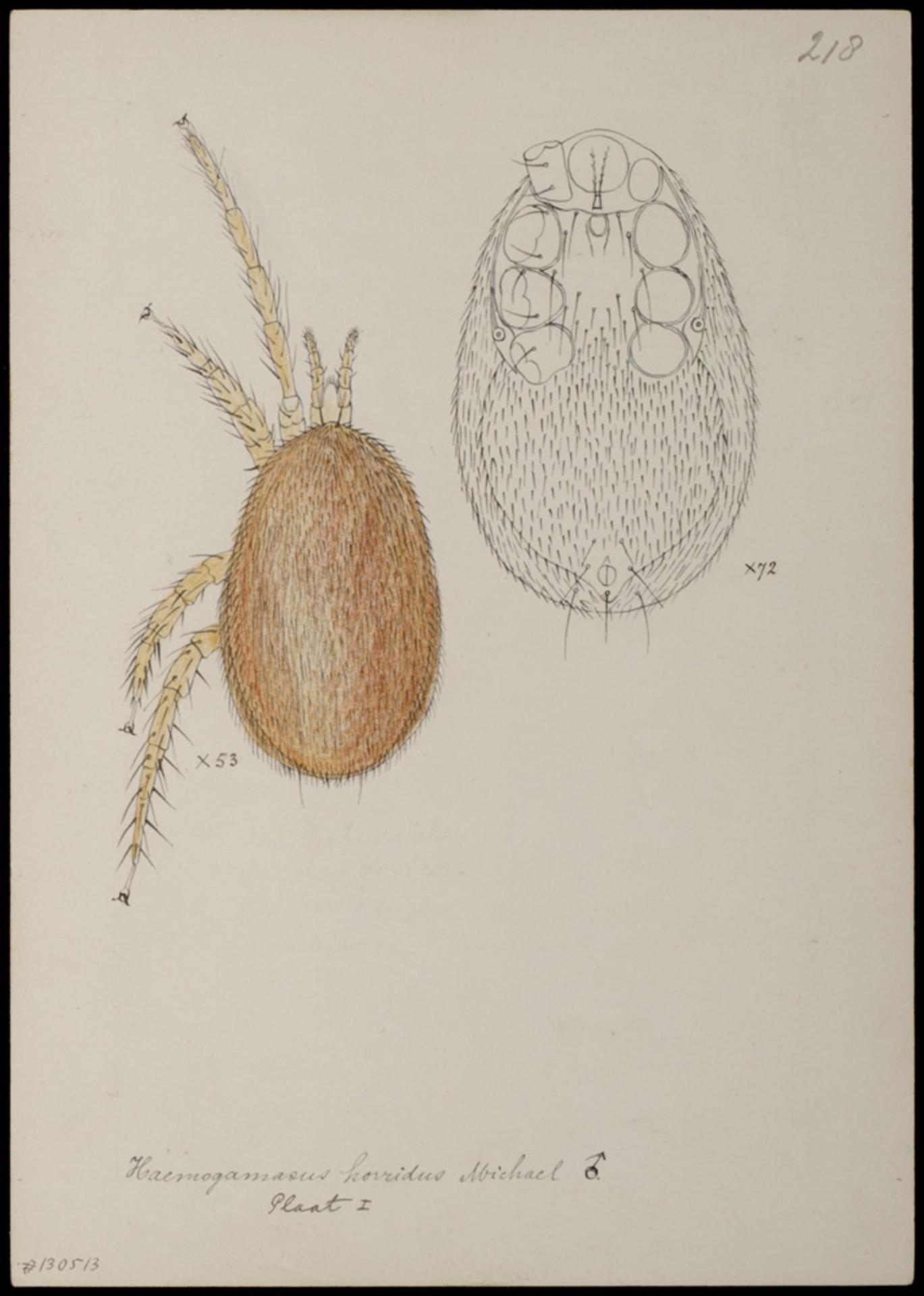RMNH.ART.1064 | Haemogamasus horridus (Michael)