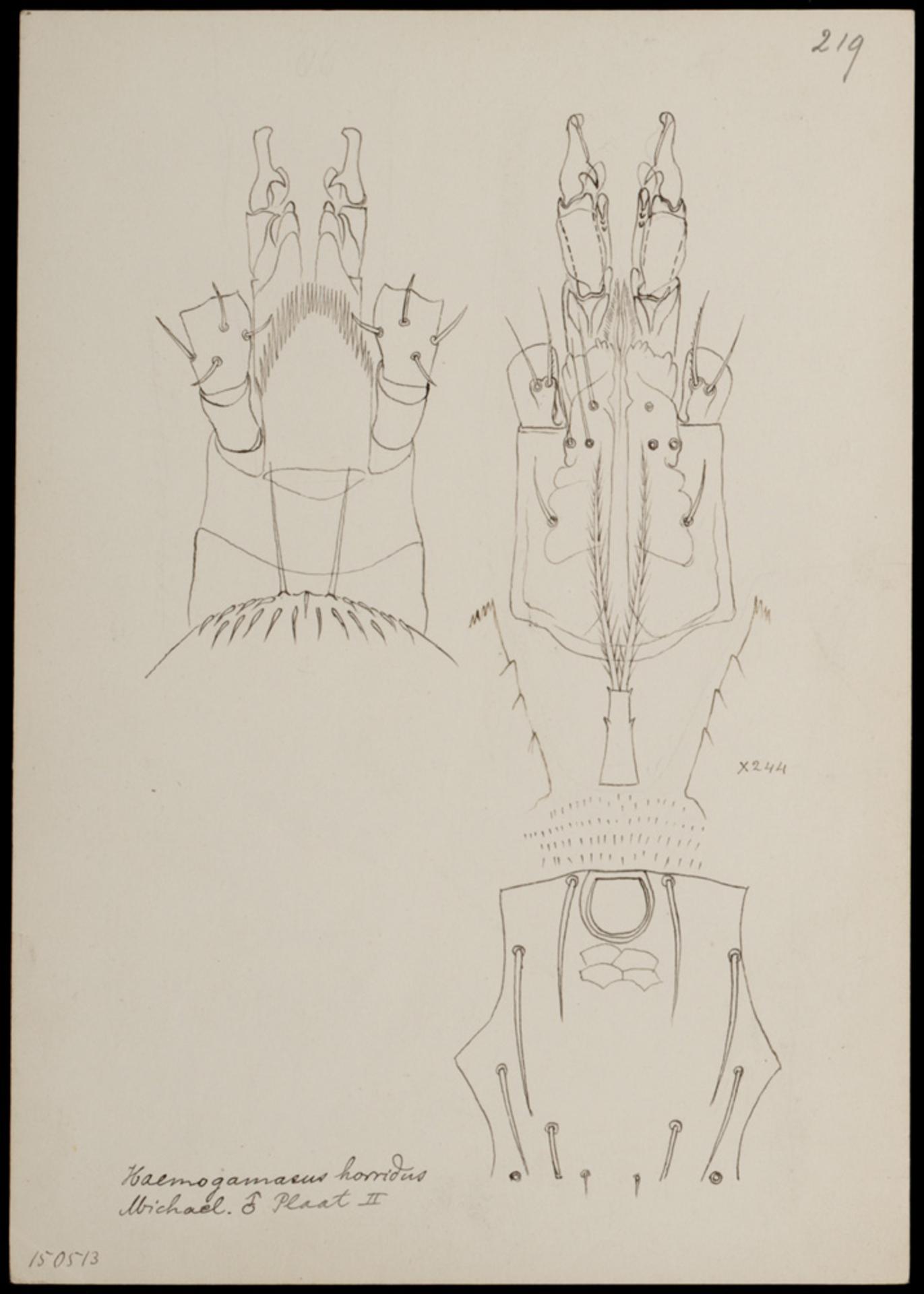 RMNH.ART.1065   Haemogamasus horridus (Michael)