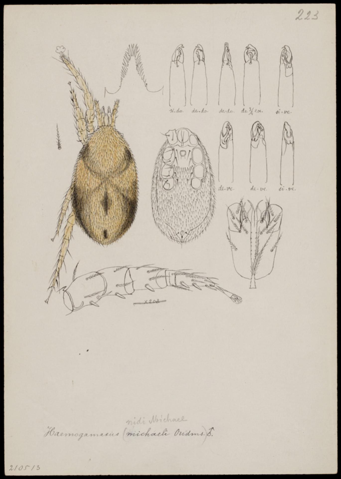 RMNH.ART.1069   Haemogamasus nidi (Michael)