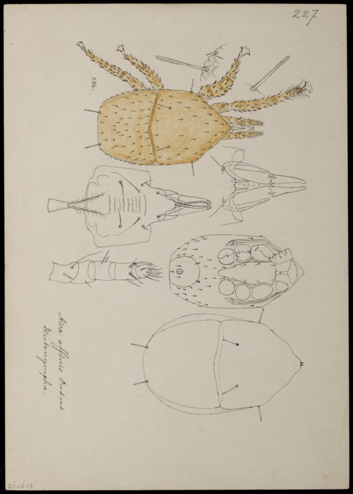 RMNH.ART.1070 | Asca affinis (Oudemans)