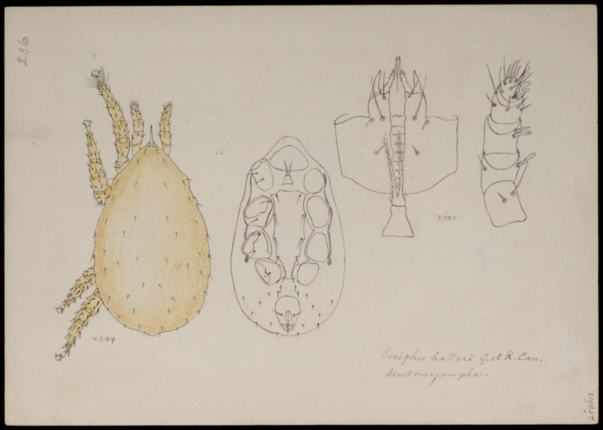 RMNH.ART.1074 | Euiphis halleri (Canestrini & Canestrini)