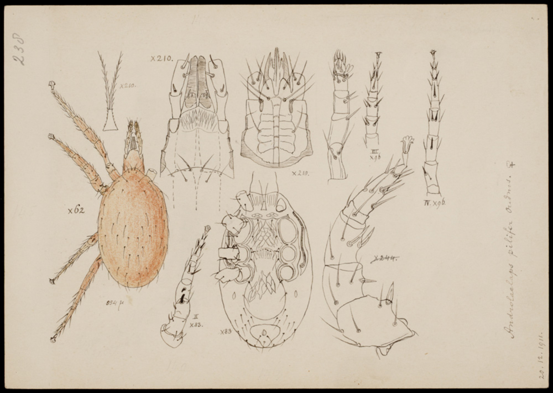 RMNH.ART.1076 | Androlaelaps pilifer (Oudemans)
