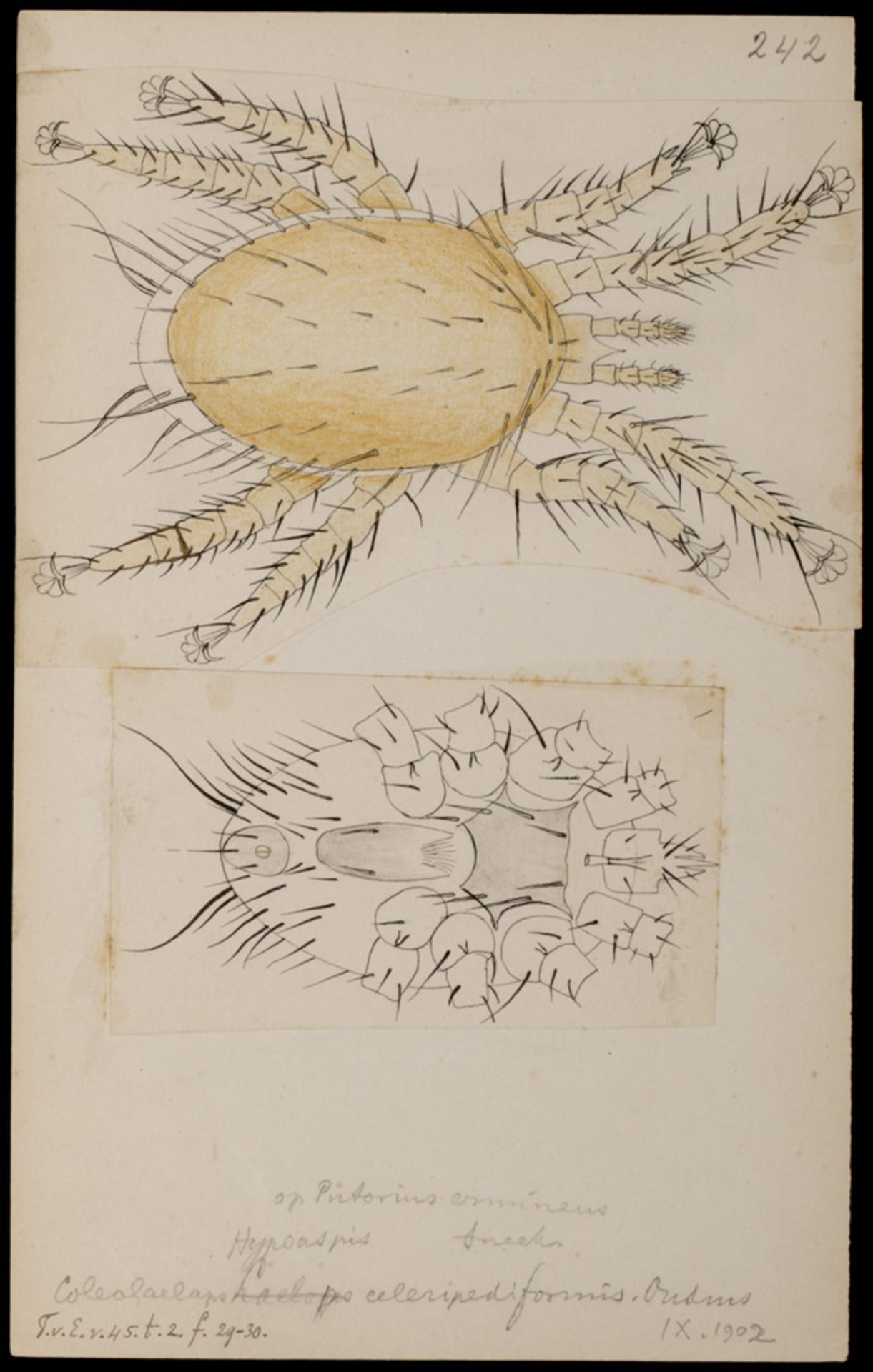 RMNH.ART.1078   Coleolaelaps celeripedifornis (Oudemans)