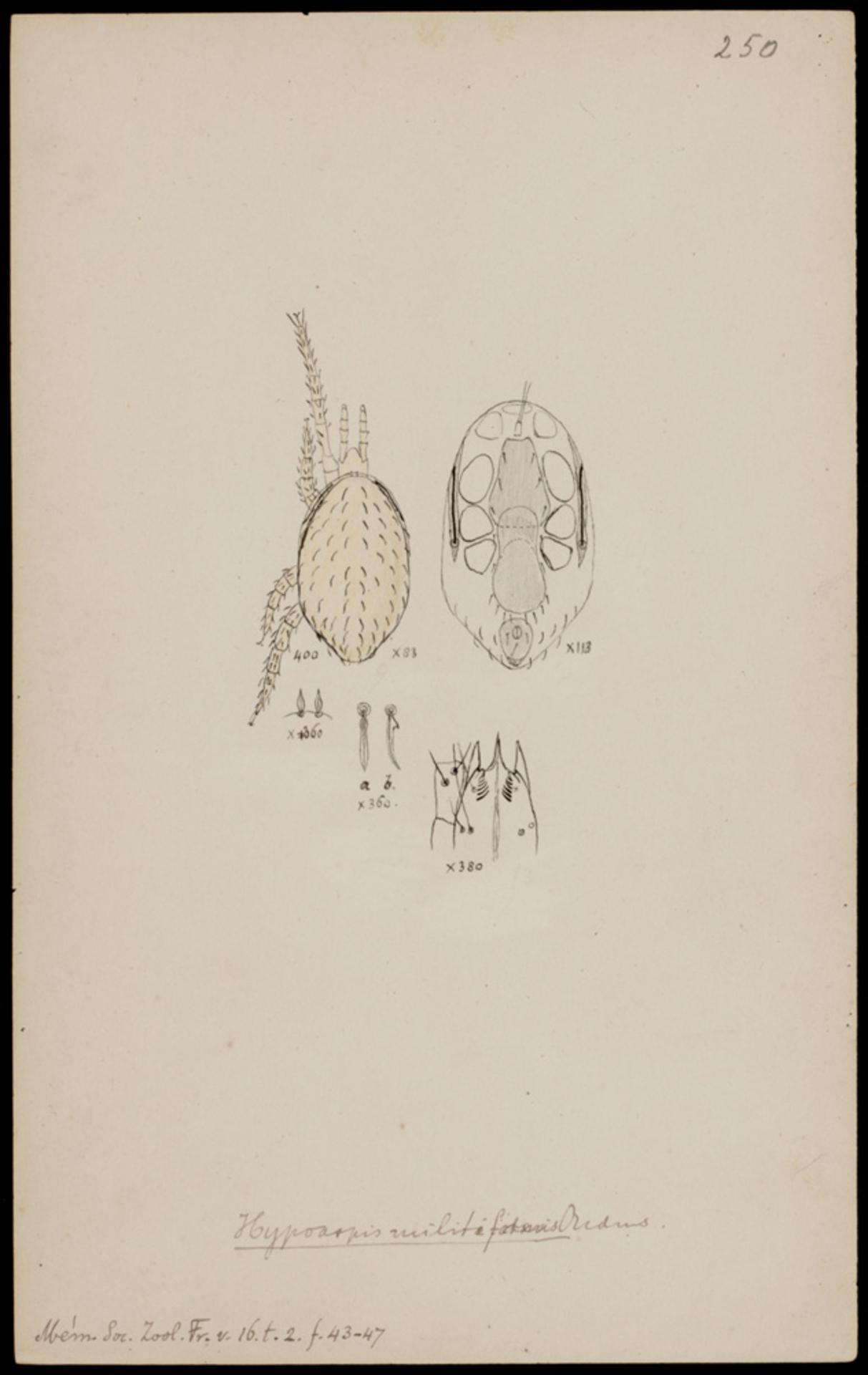 RMNH.ART.1081   Hypoaspis militiformis (Oudemans)