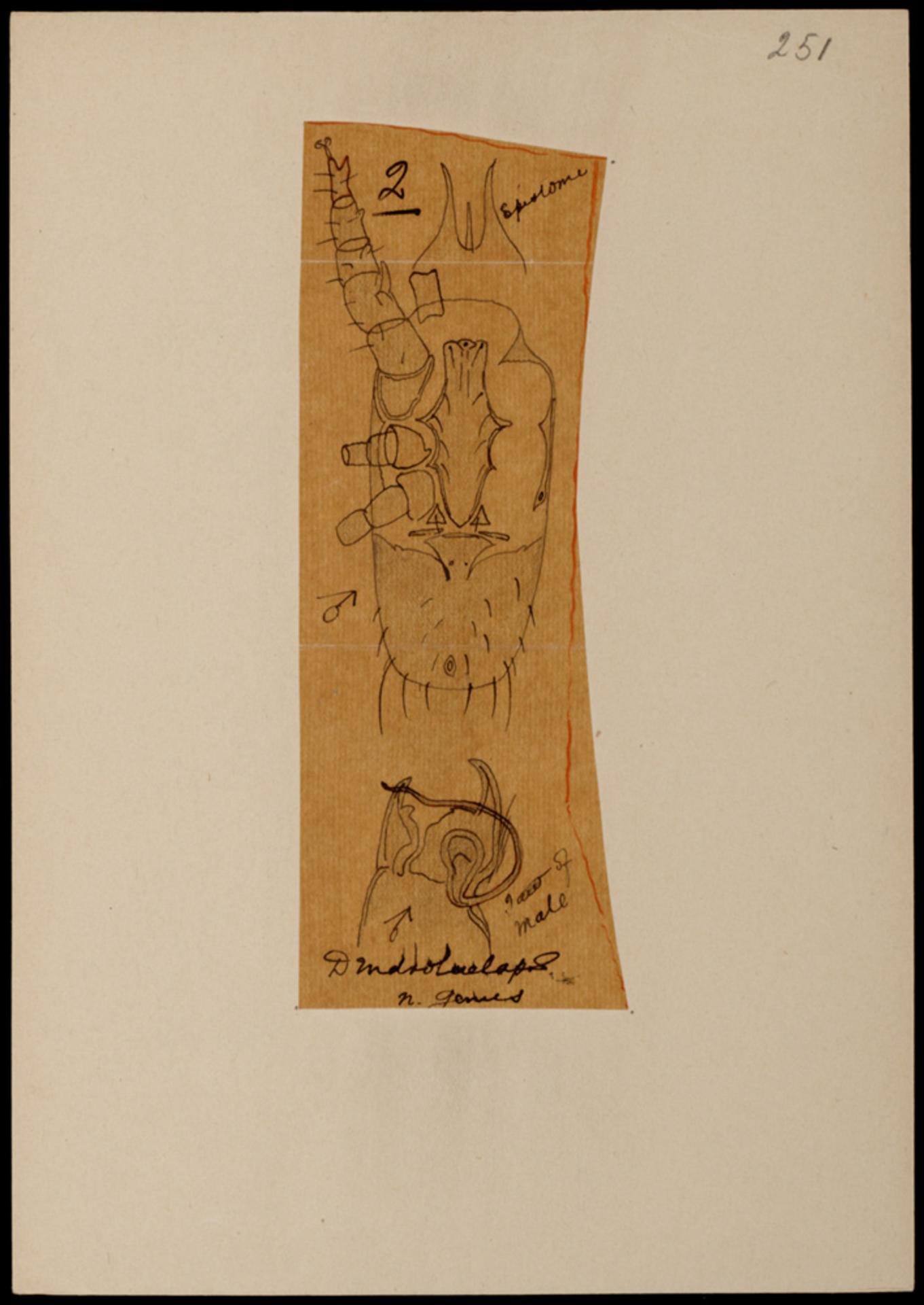 RMNH.ART.1082   Dendrolaelaps (spec.)