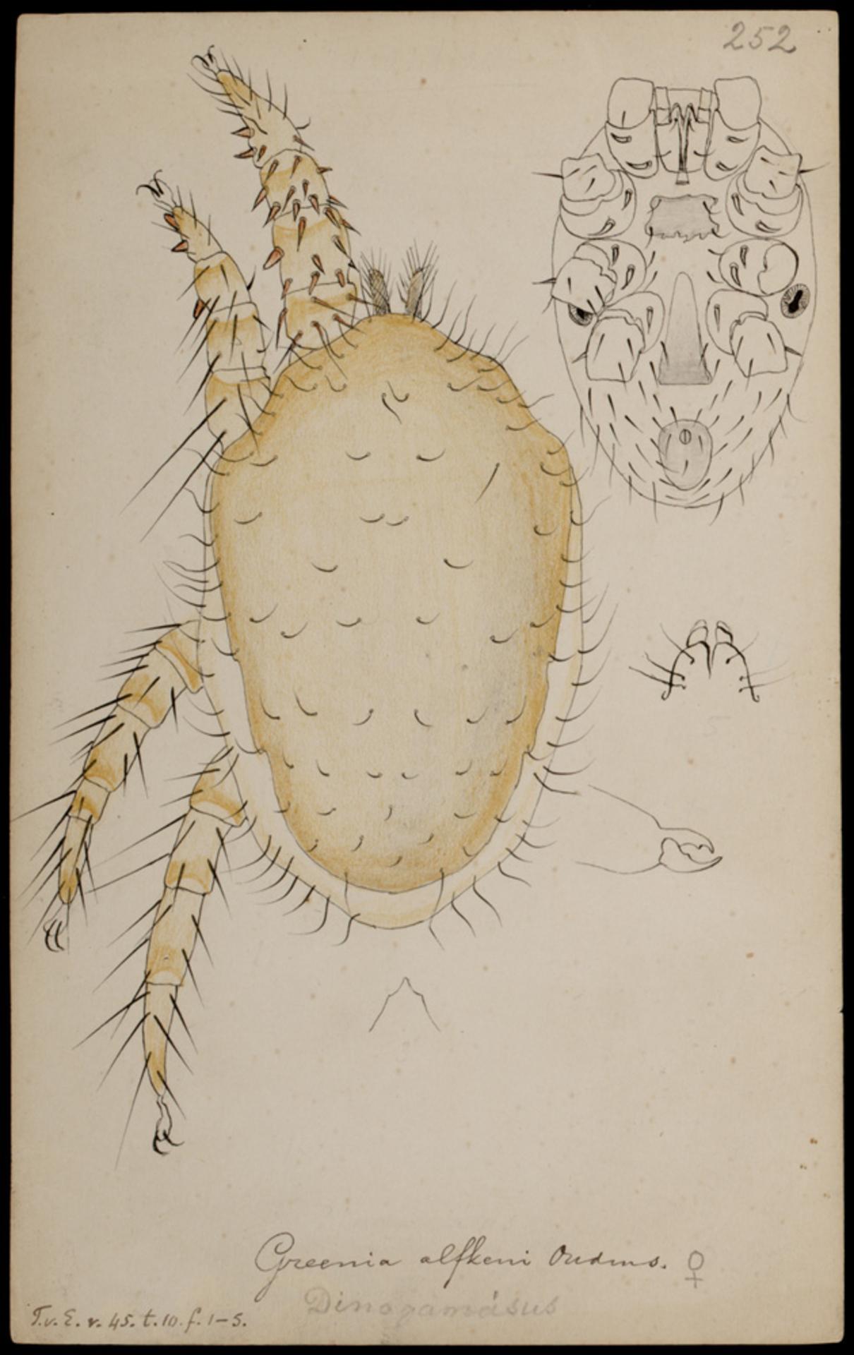RMNH.ART.1083   Greenia alfkeni (Oudmans)