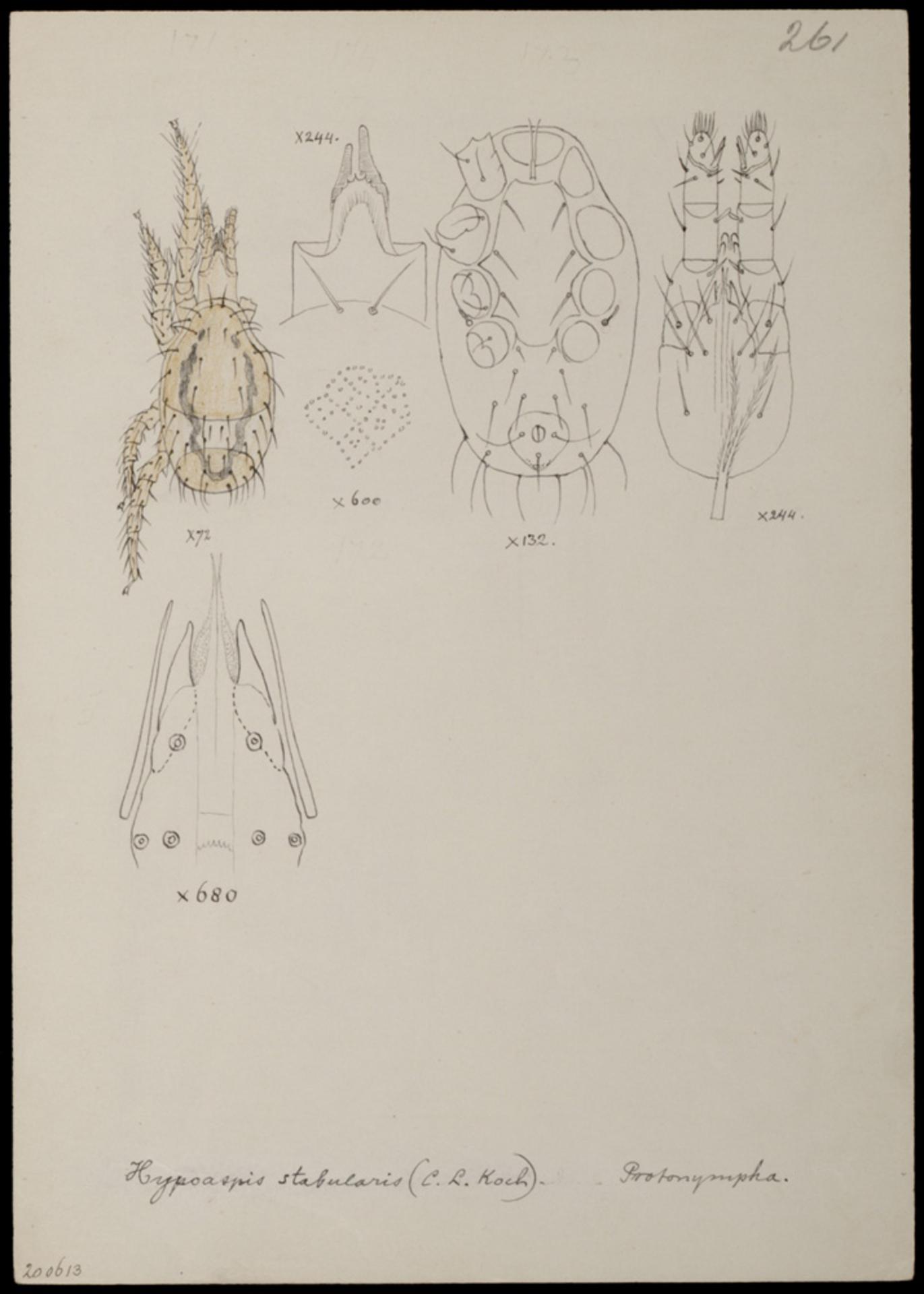 RMNH.ART.1085 | Hypoaspis stabularis (C. L. Koch)