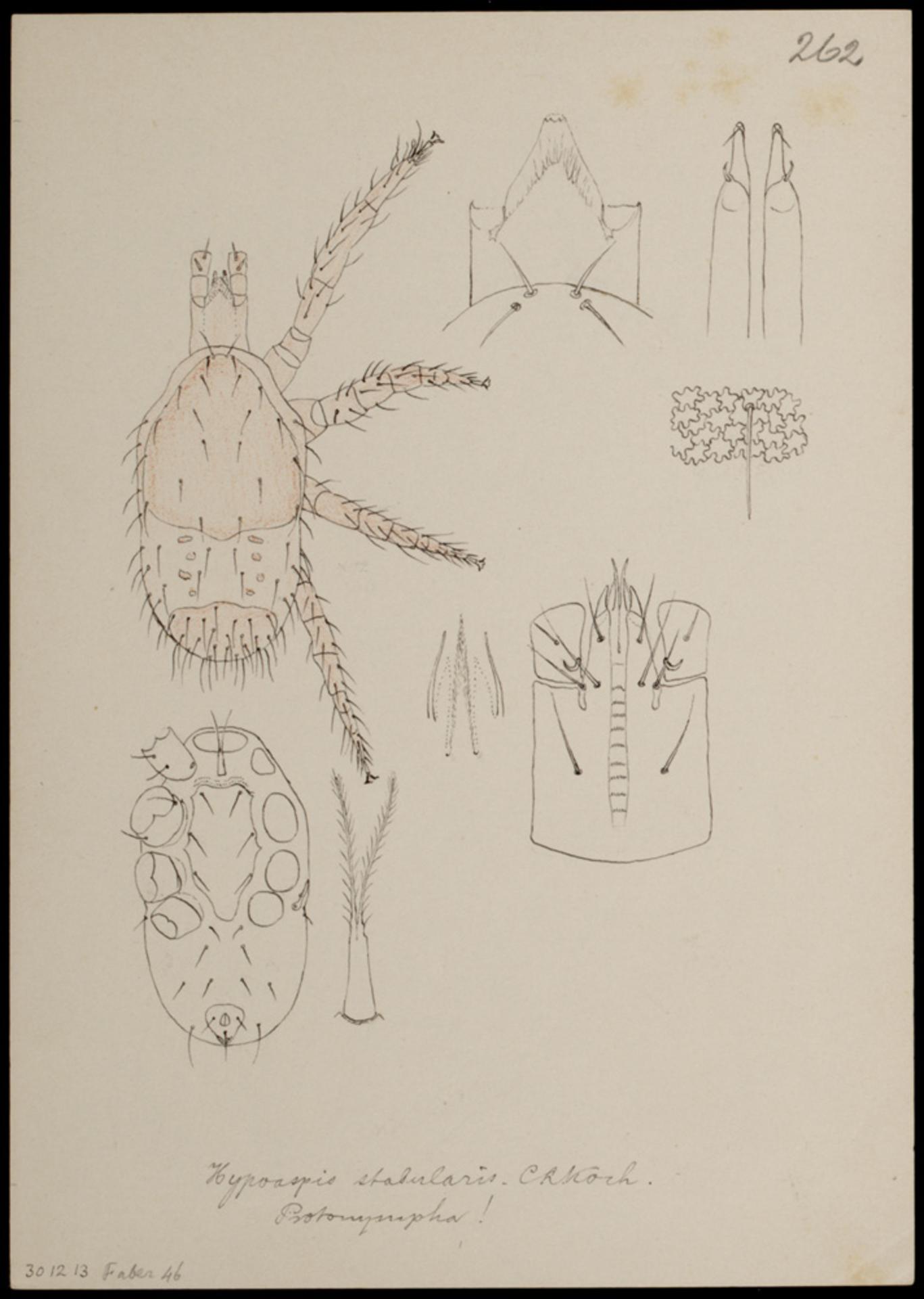 RMNH.ART.1086 | Hypoaspis stabularis (C. L. Koch)
