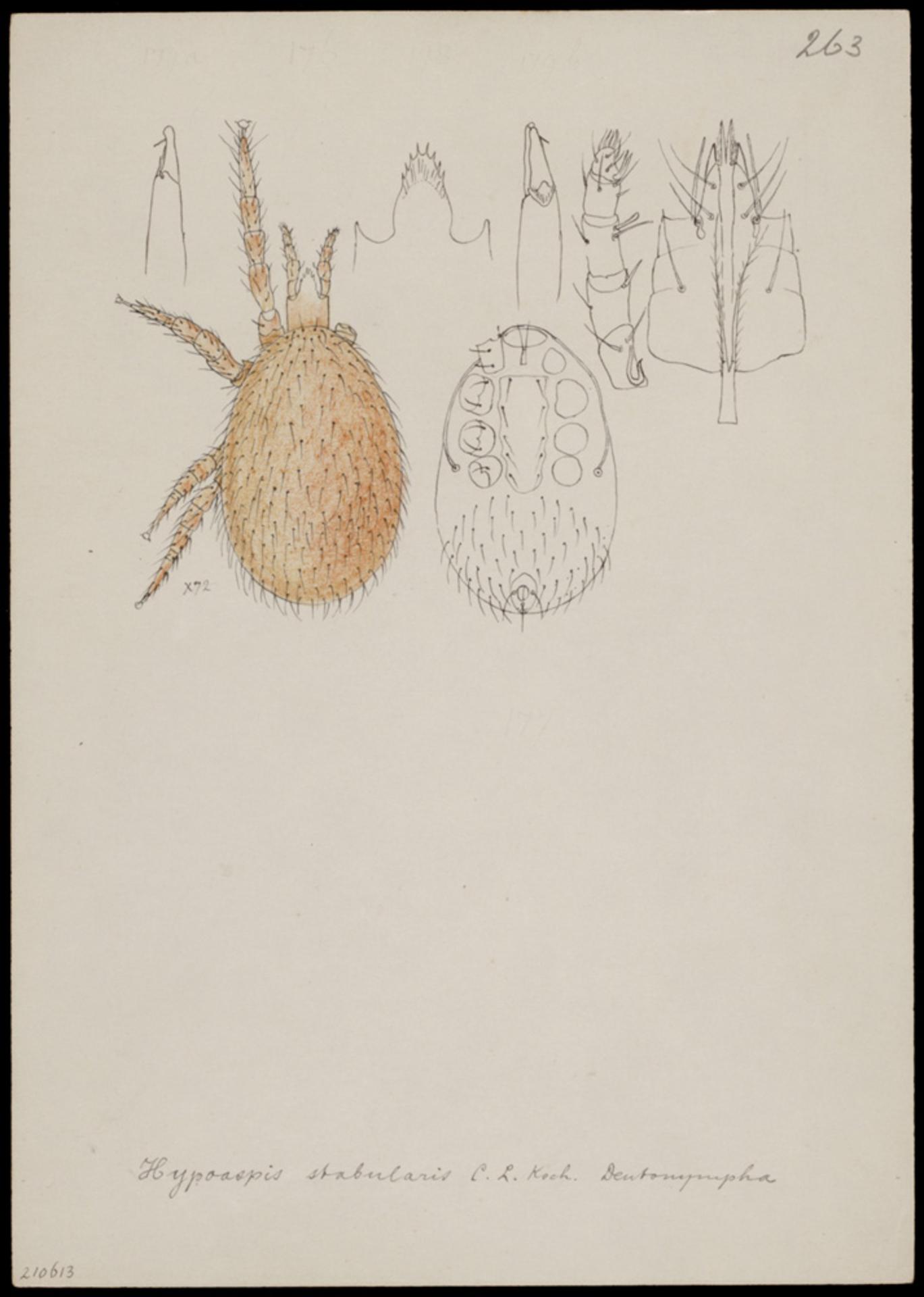 RMNH.ART.1087   Hypoaspis stabularis (C. L. Koch)