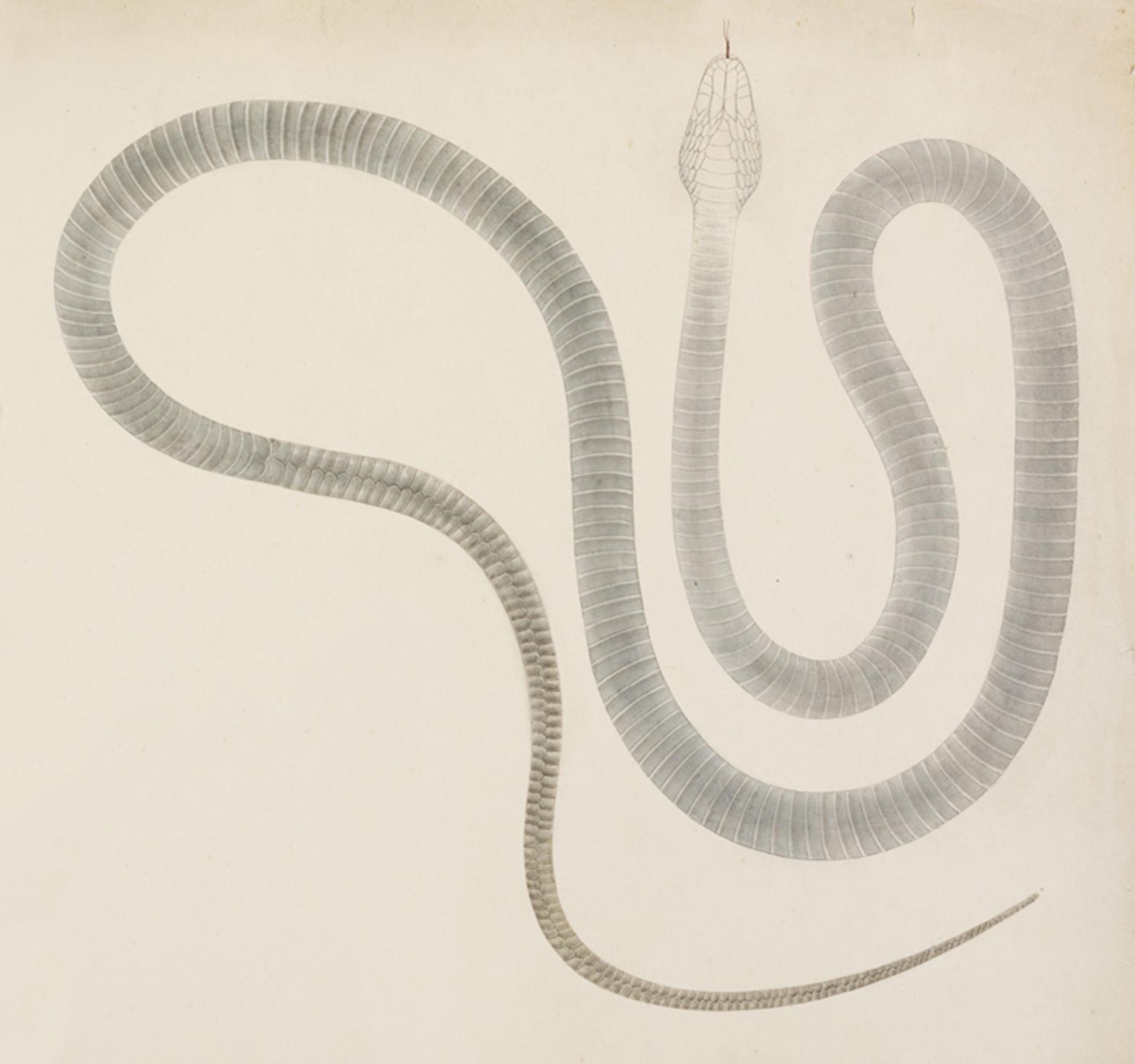 RMNH.ART.109 | Elaphe climacophora