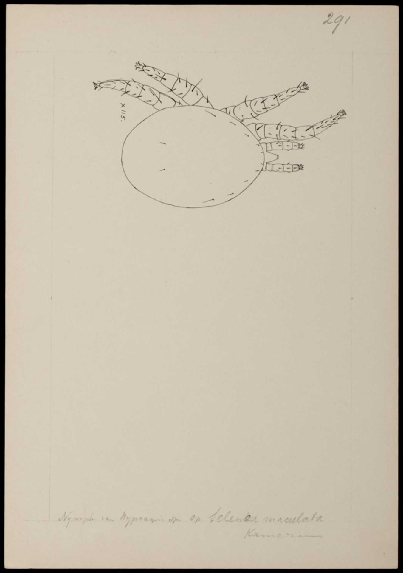 RMNH.ART.1104   Hypoaspis (spec.)