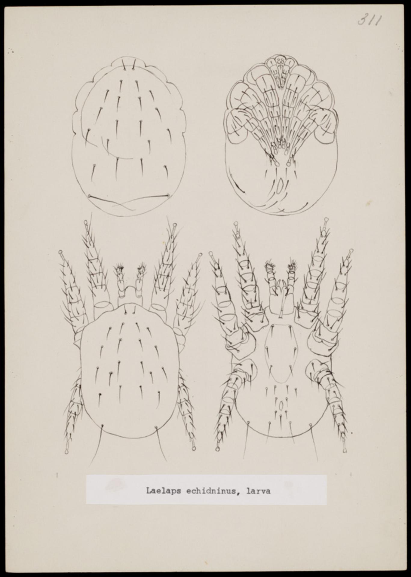 RMNH.ART.1118   Laelaps echidninus (Berlese)