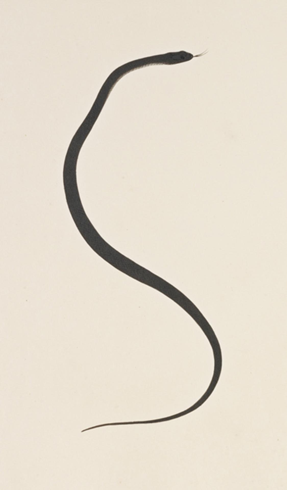 RMNH.ART.117 | Elaphe quadrivirgata