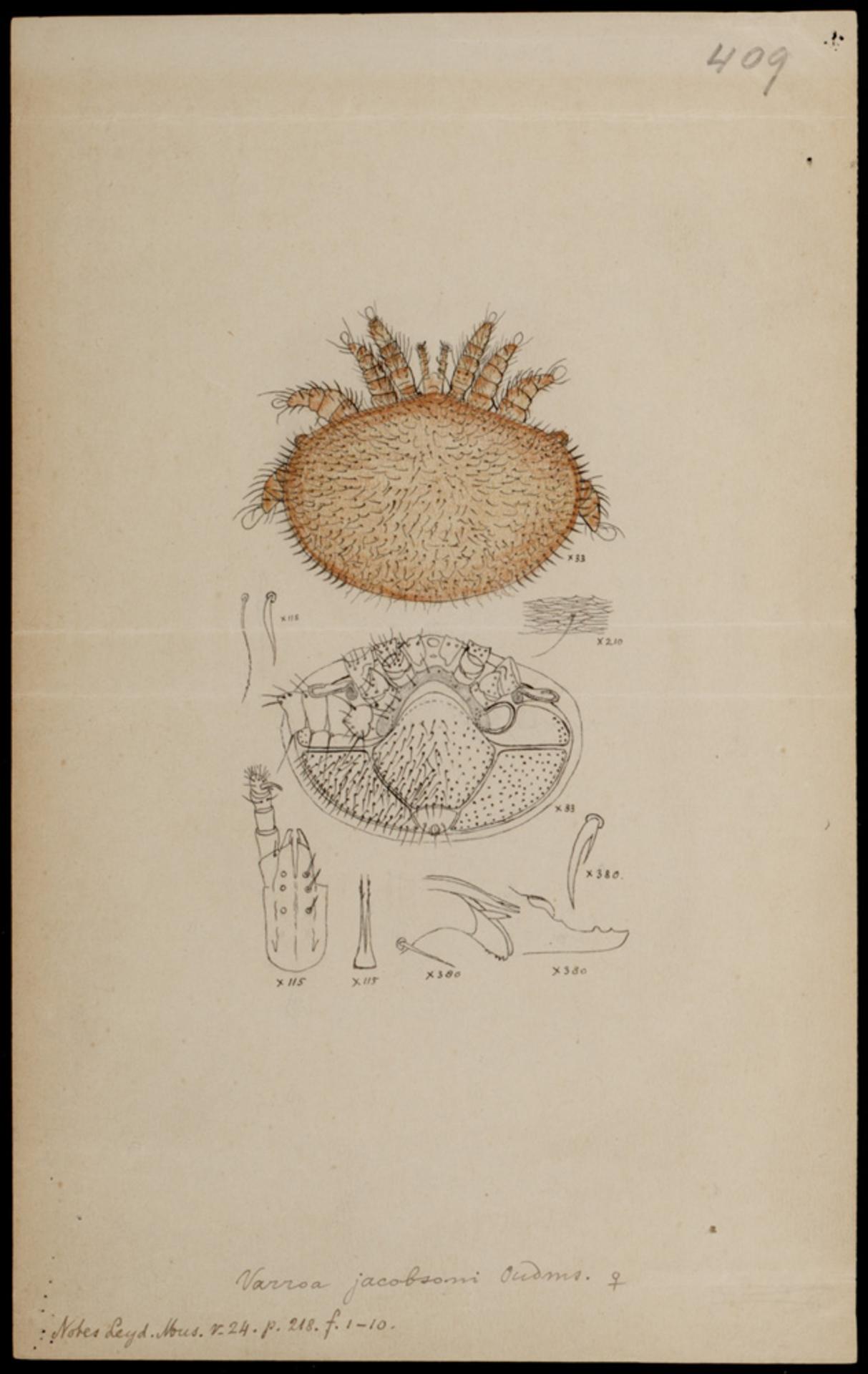 RMNH.ART.1176 | Varroa jacobsoni (Oudemans)