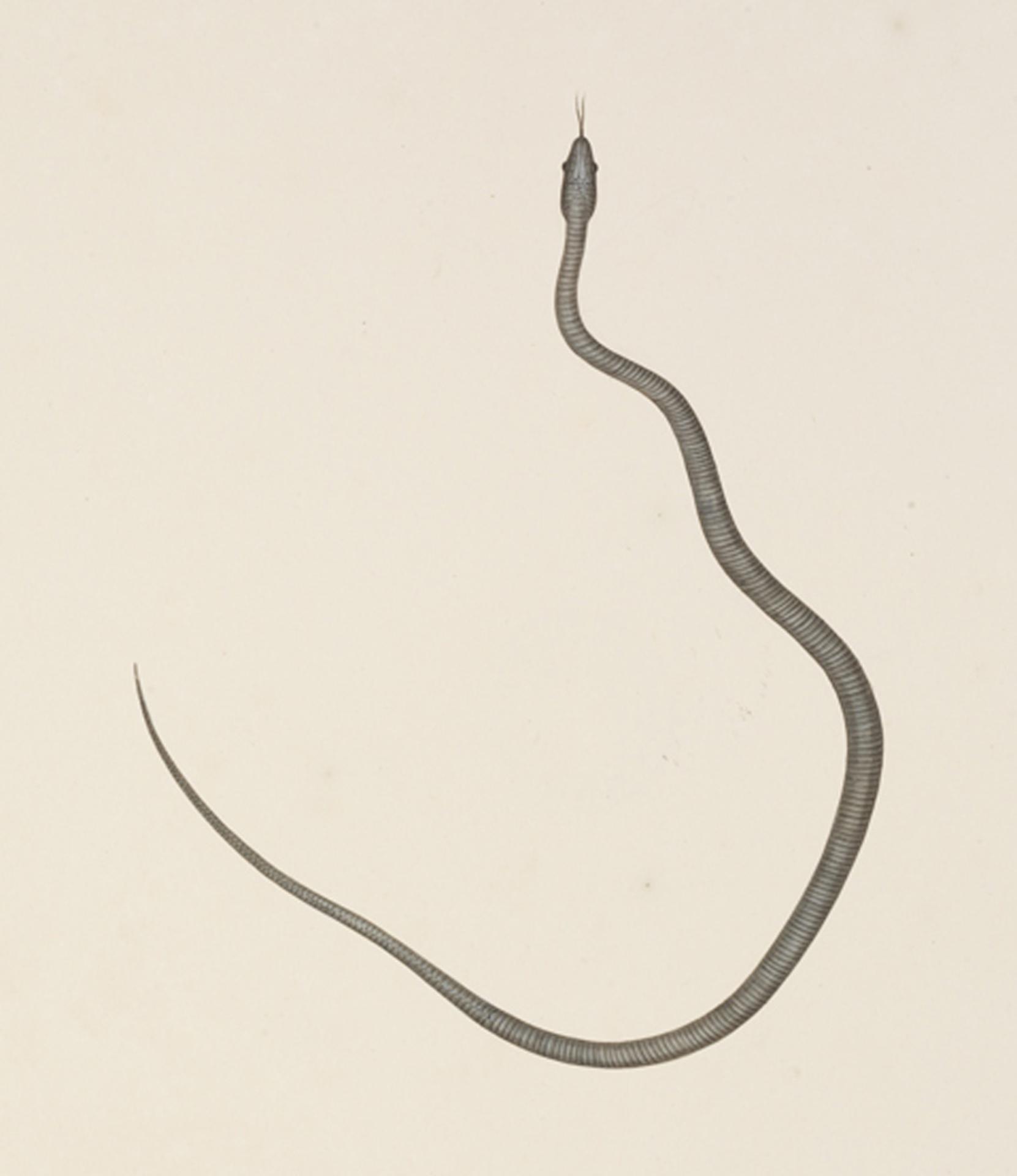 RMNH.ART.118 | Elaphe quadrivirgata