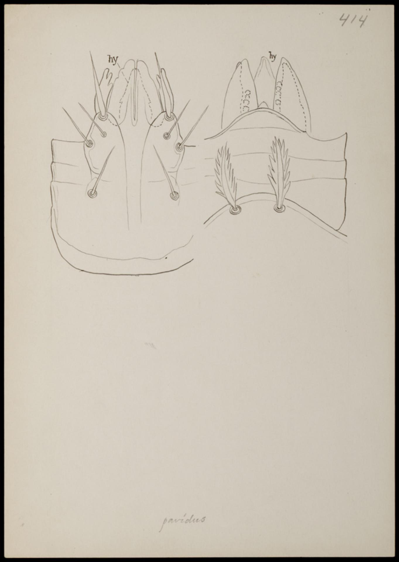 RMNH.ART.1181   Kleemannia pavidus (C.L. Koch)
