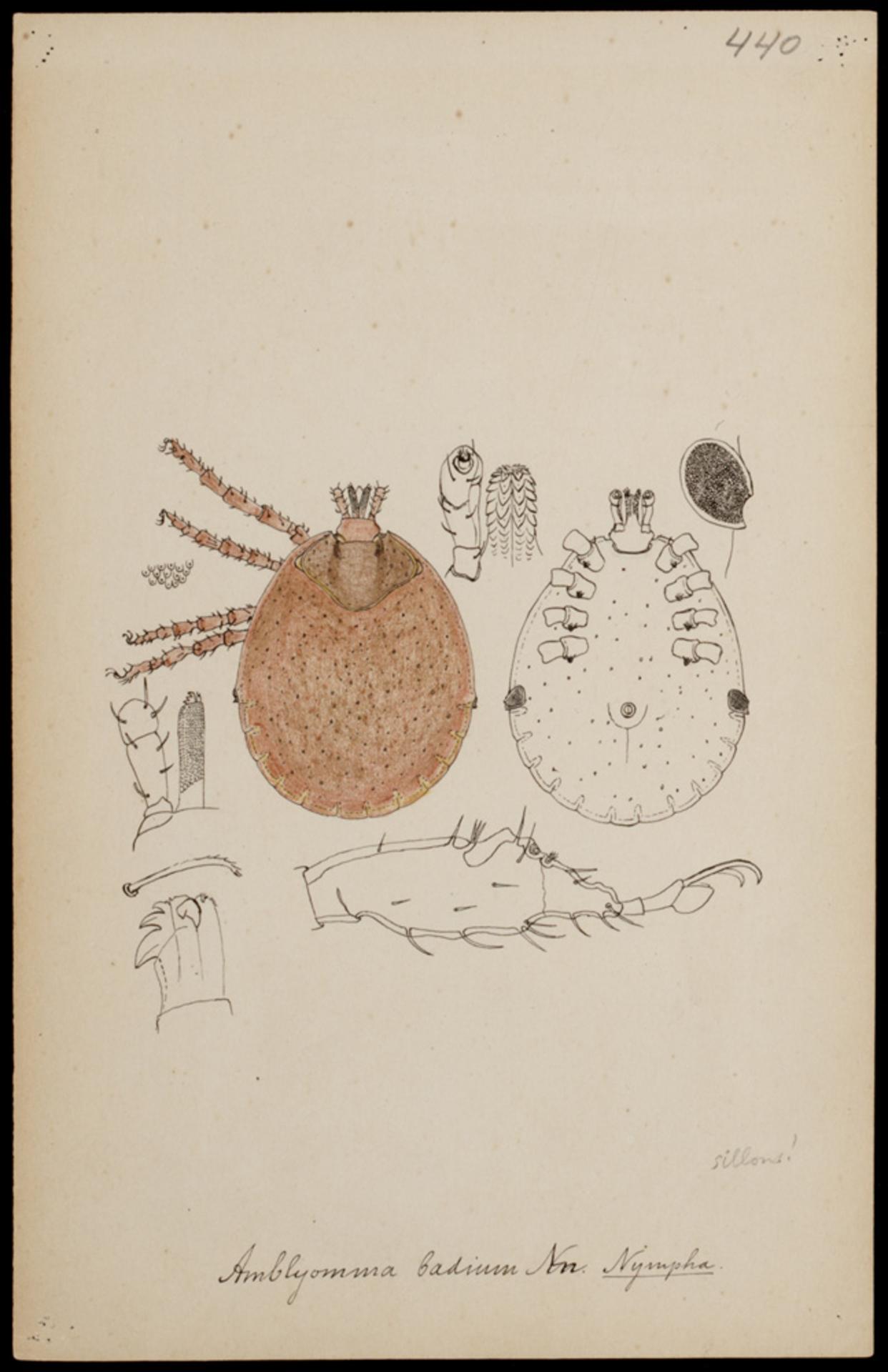 RMNH.ART.1200   Amblyomma badium (Neumann)