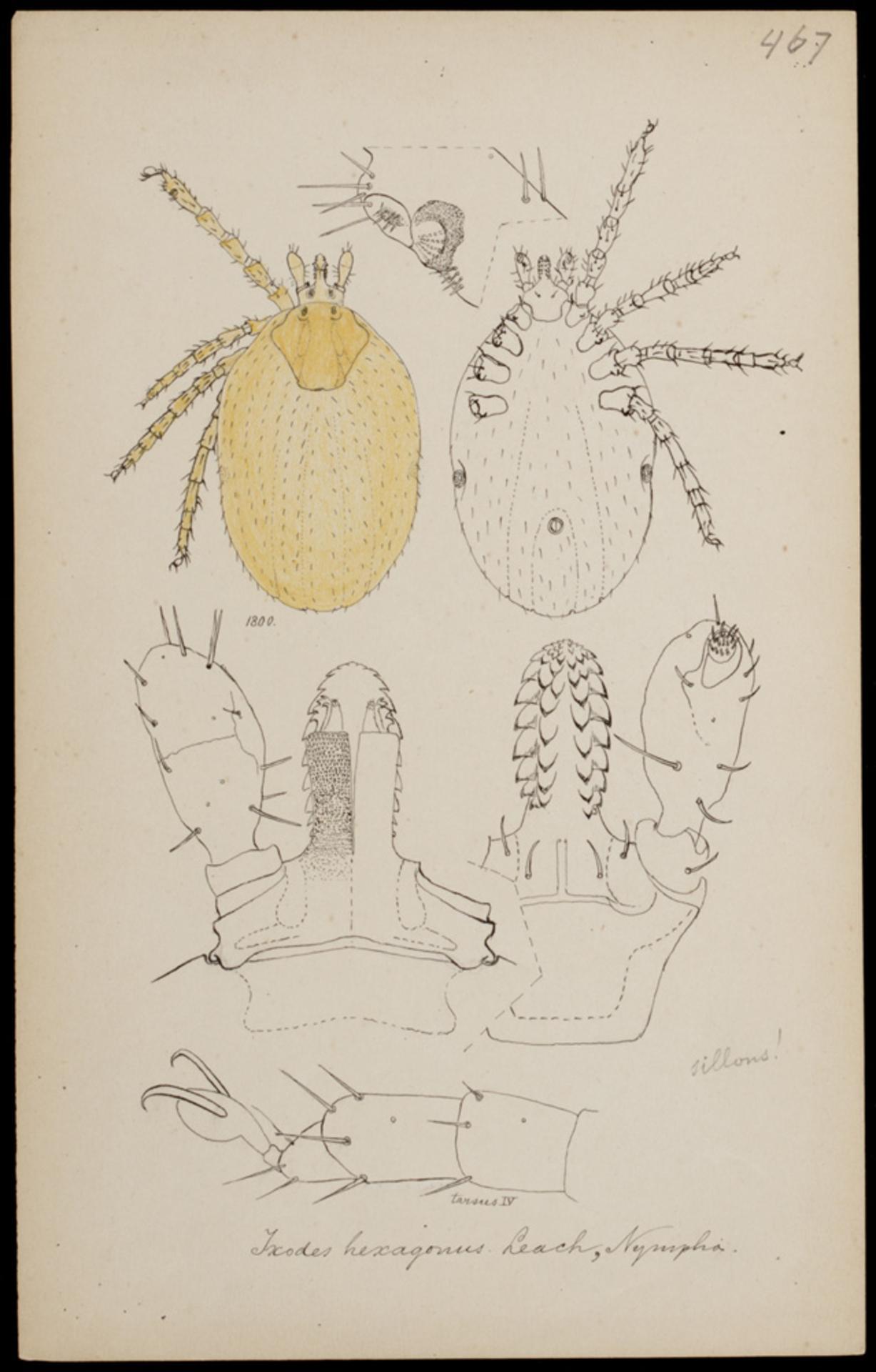 RMNH.ART.1222 | Ixodes hexagonus (Leach)