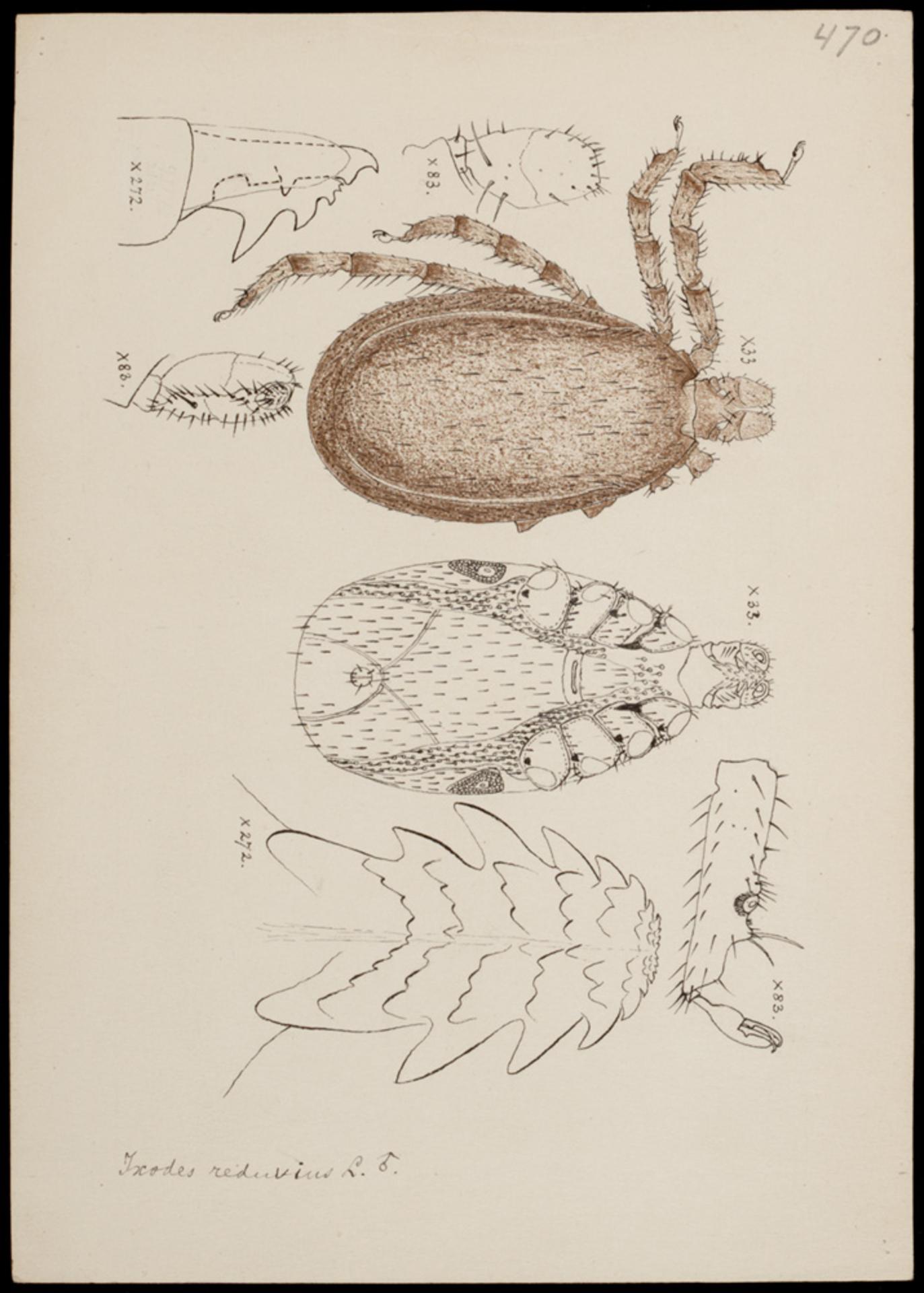 RMNH.ART.1225 | Ixodes reduvius (L.)