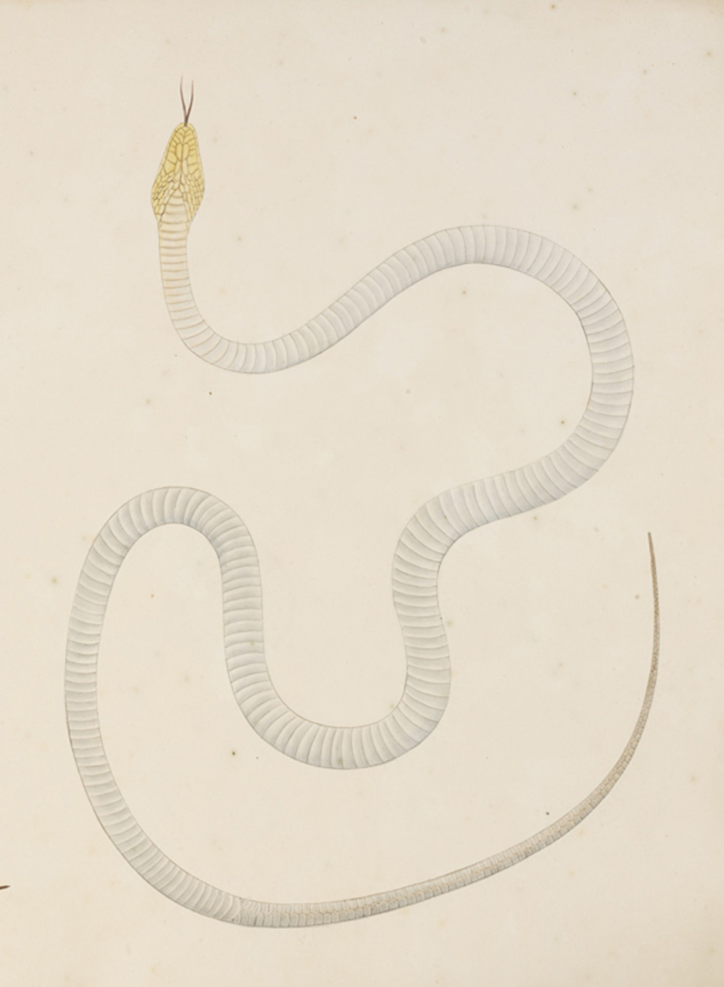 RMNH.ART.123 | Elaphe quadrivirgata