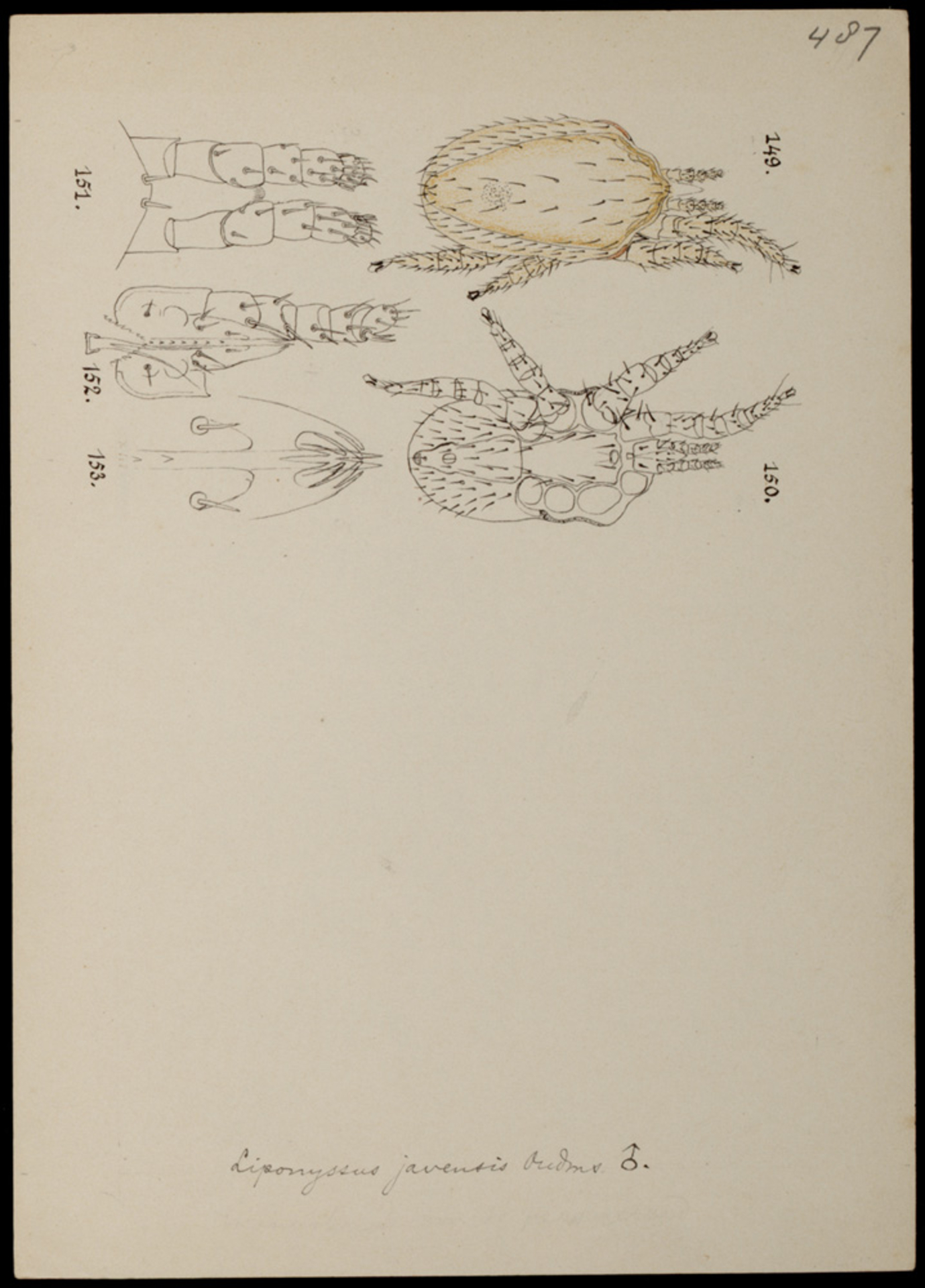 RMNH.ART.1231 | Liponyssus javensis (Oudemans)