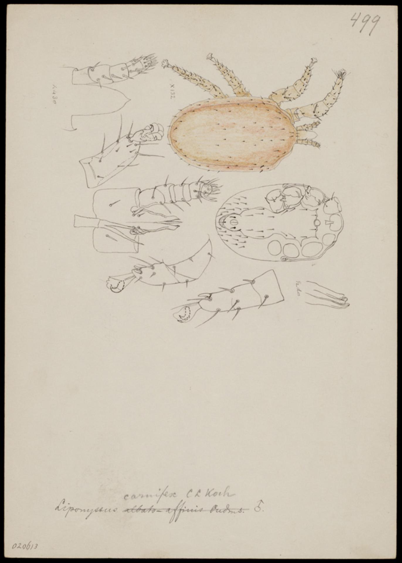 RMNH.ART.1239 | Liponyssus carnifex (C. L. Koch)