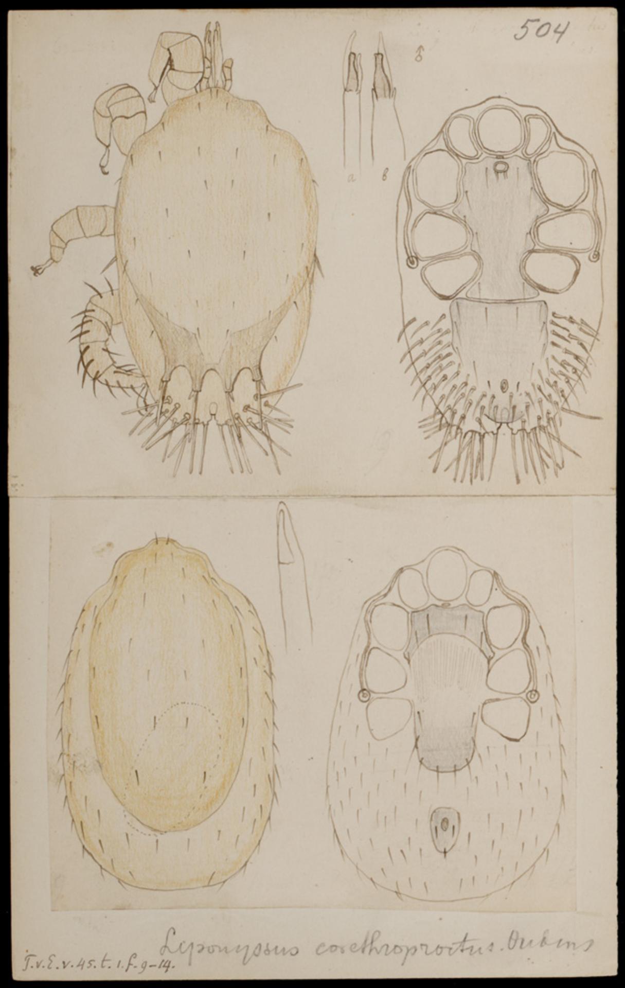 RMNH.ART.1244 | Liponyssus corethroproctus (Oudemans)