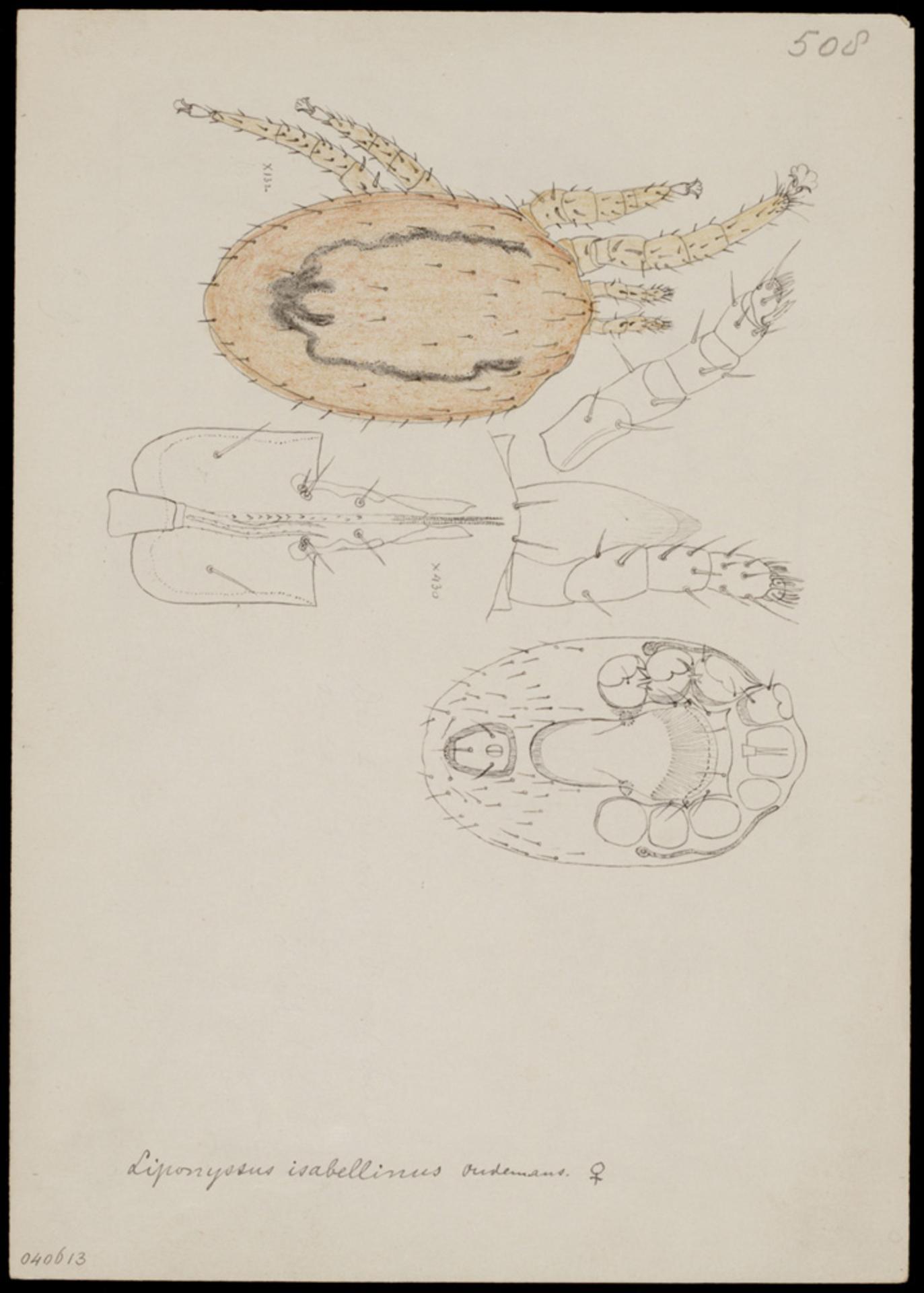 RMNH.ART.1245 | Liponyssus isabellinus (Oudemans)