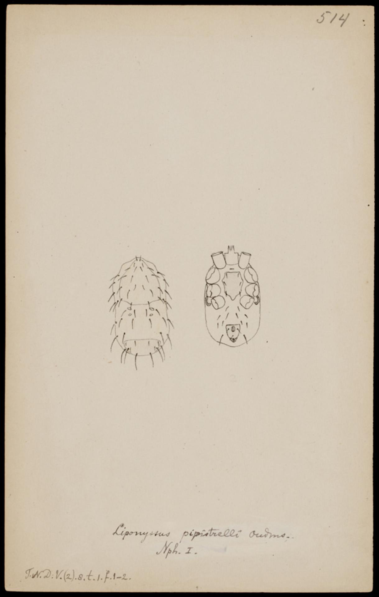 RMNH.ART.1247   Liponyssus pipistrelli (Oudemans)