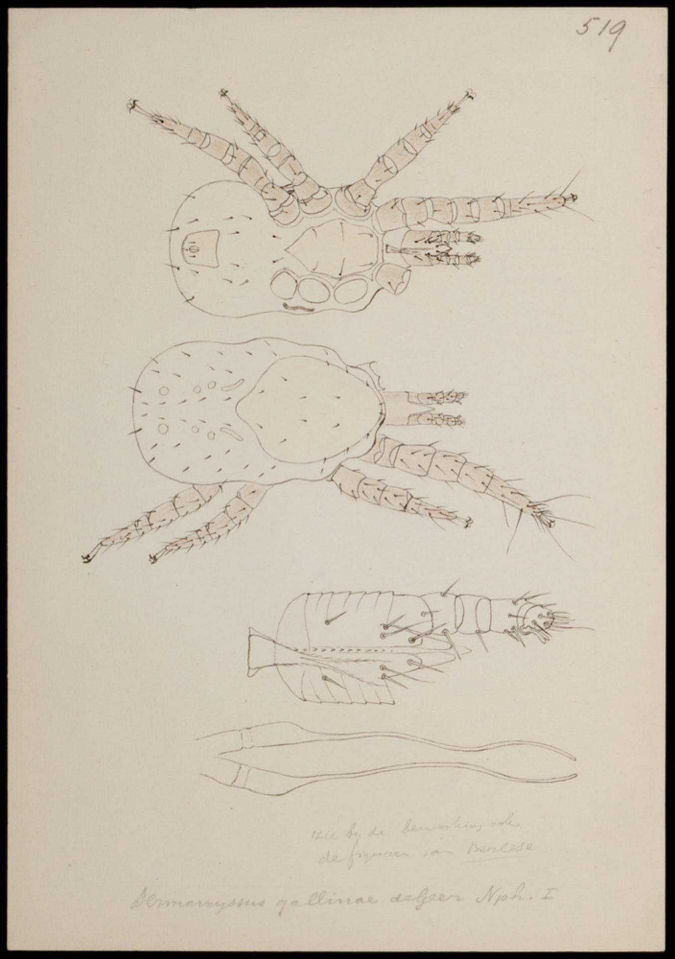RMNH.ART.1252 | Dermanyssus gallinae (de Geer)