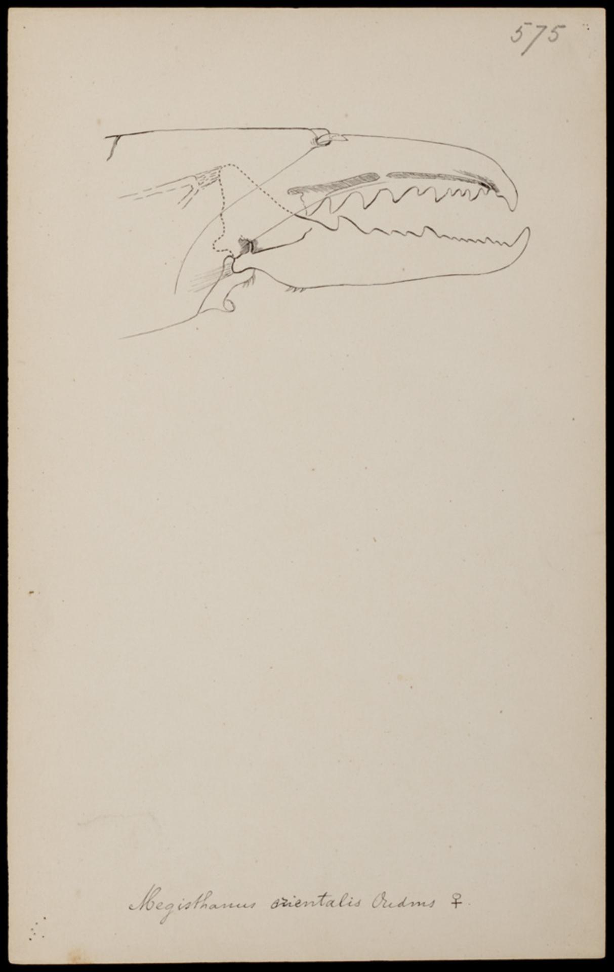 RMNH.ART.1264 | Megisthanus orientalis (Oudemans)