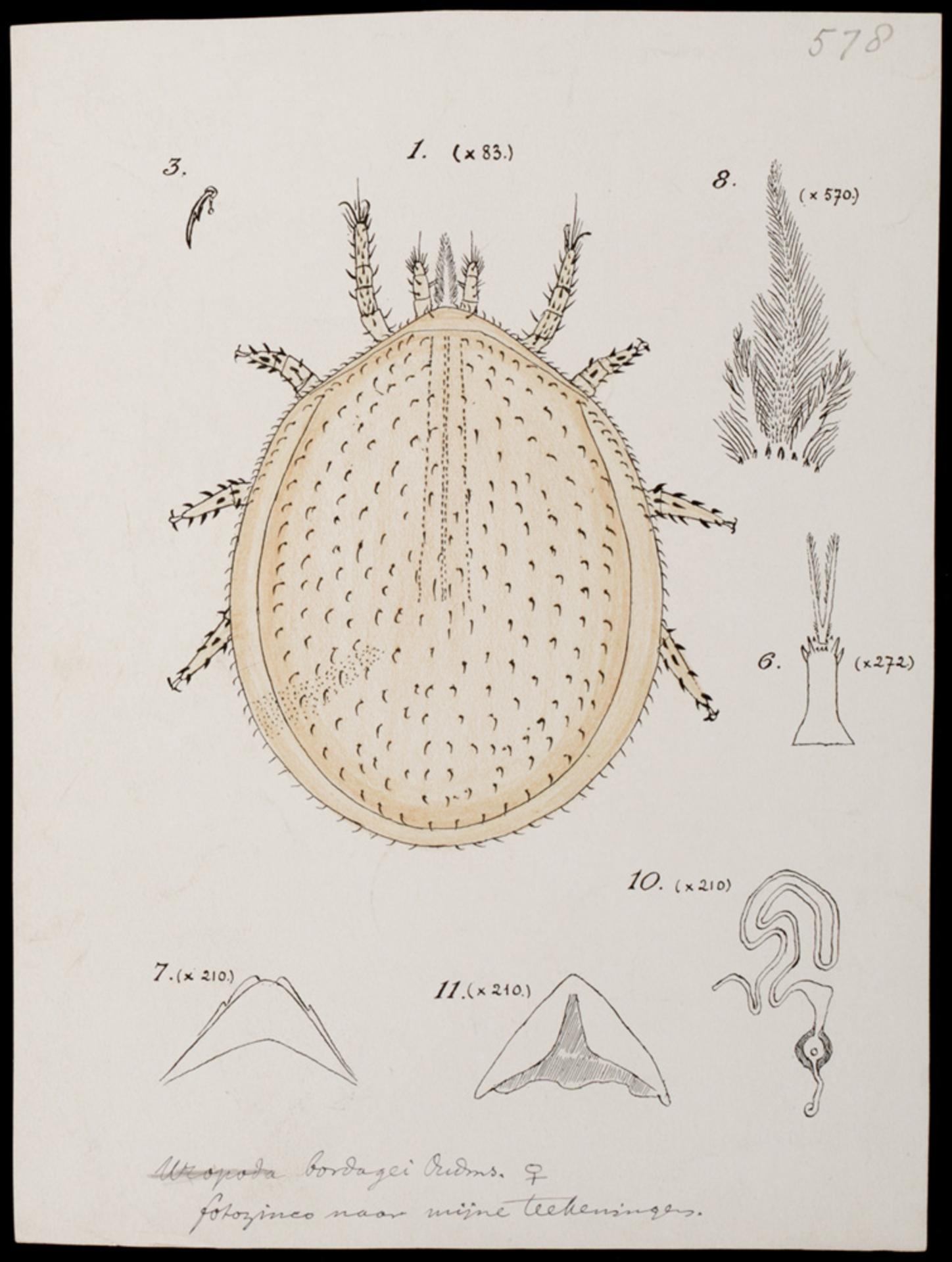 RMNH.ART.1267 | Uropoda bordagei (Oudemans)
