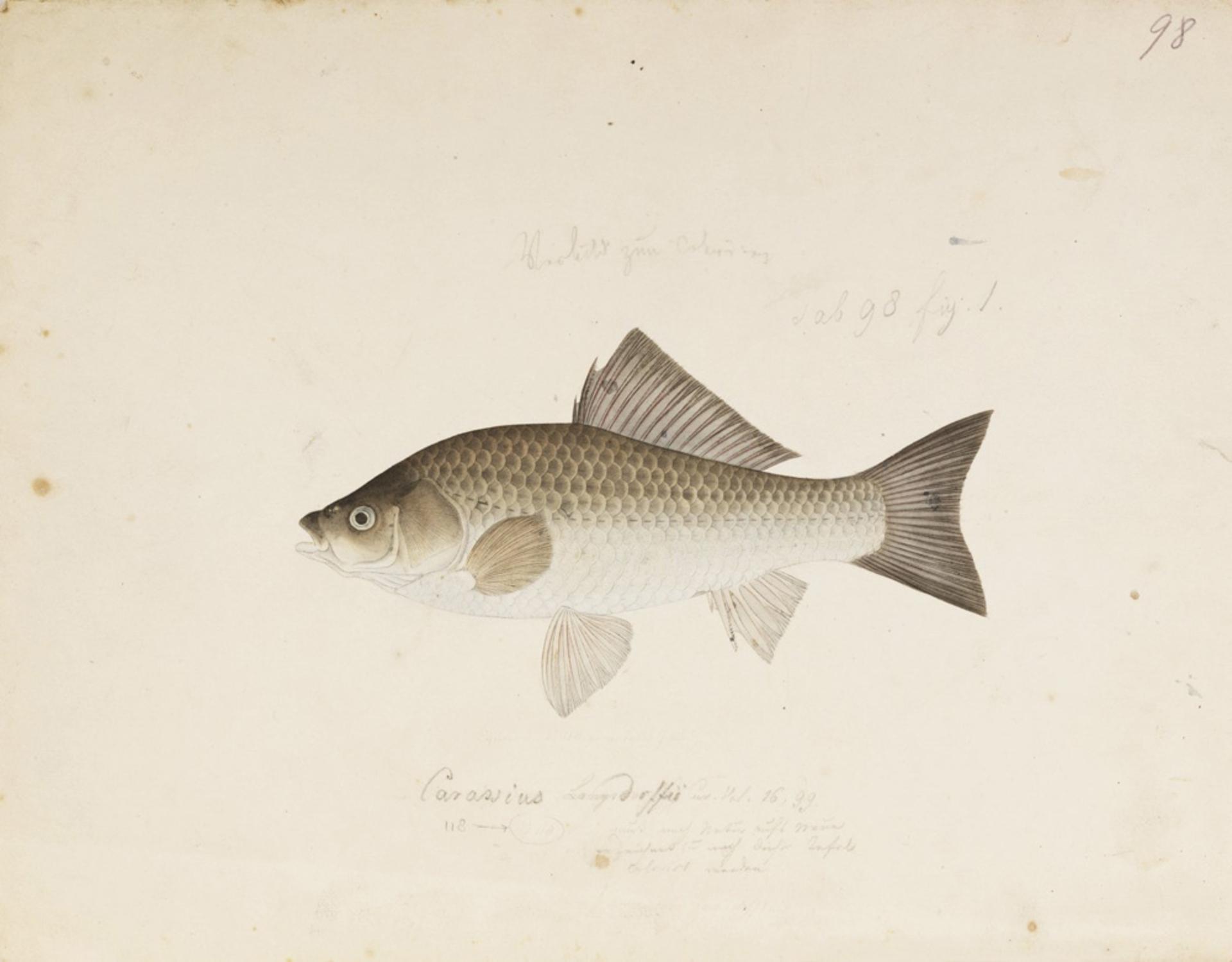 RMNH.ART.131 | Carassius auratus langsdorfi