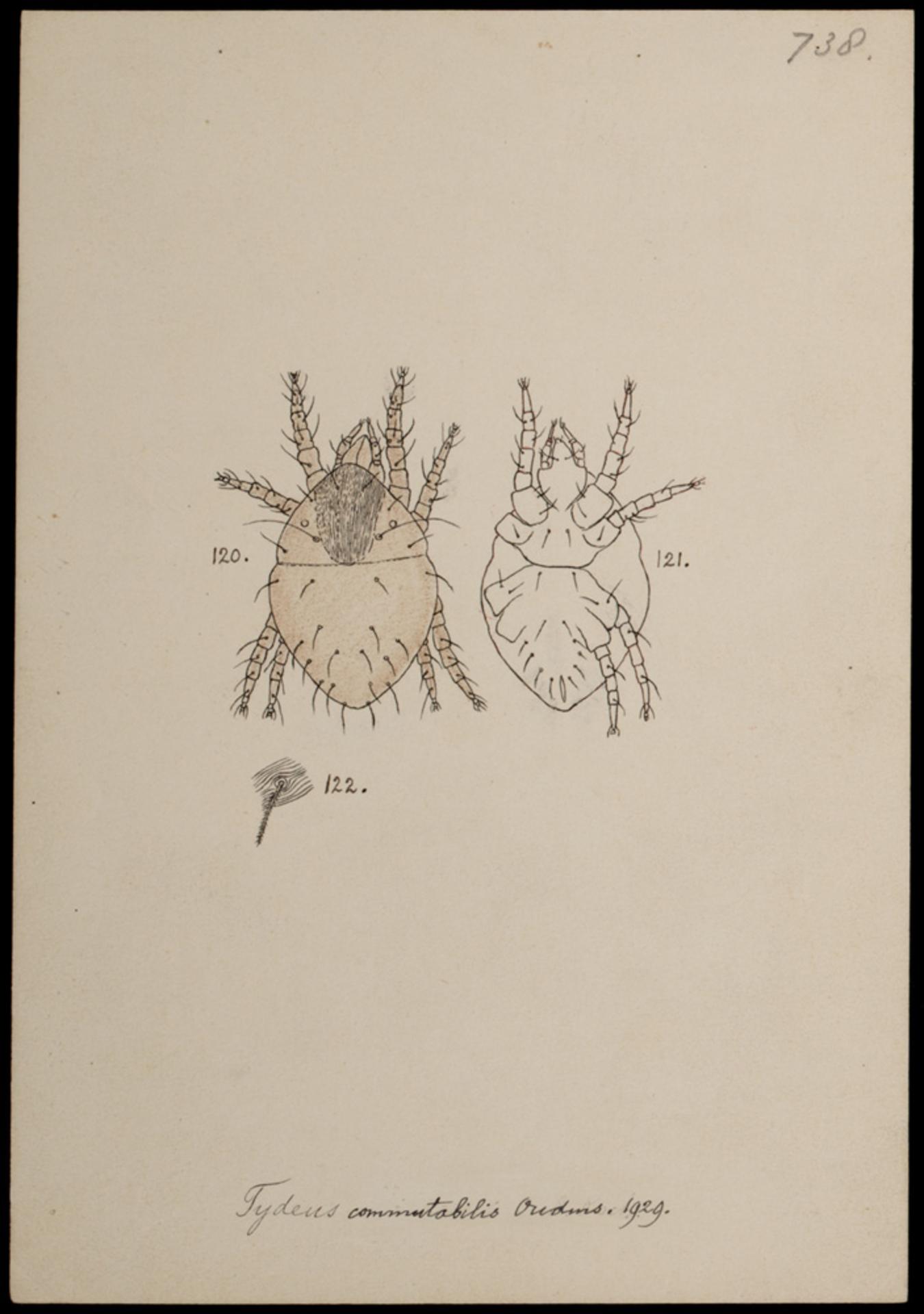 RMNH.ART.1366 | Tydeus commutabilis (Oudemans)