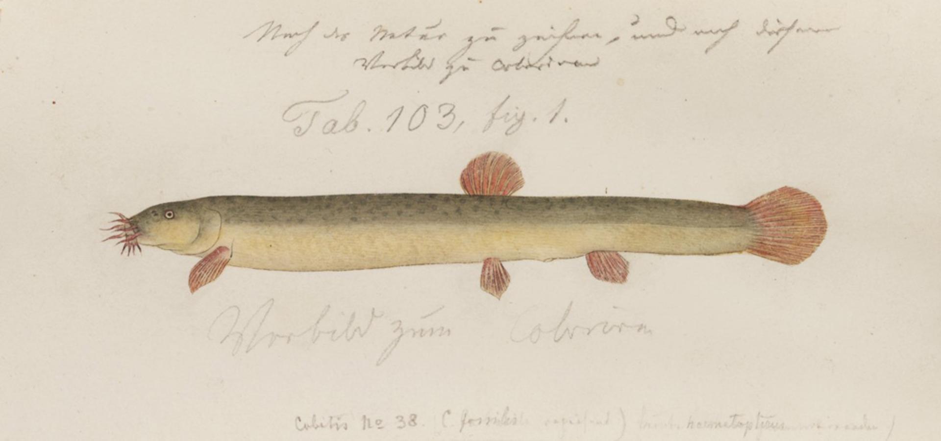 RMNH.ART.141   Misgurus anguillicaudatus