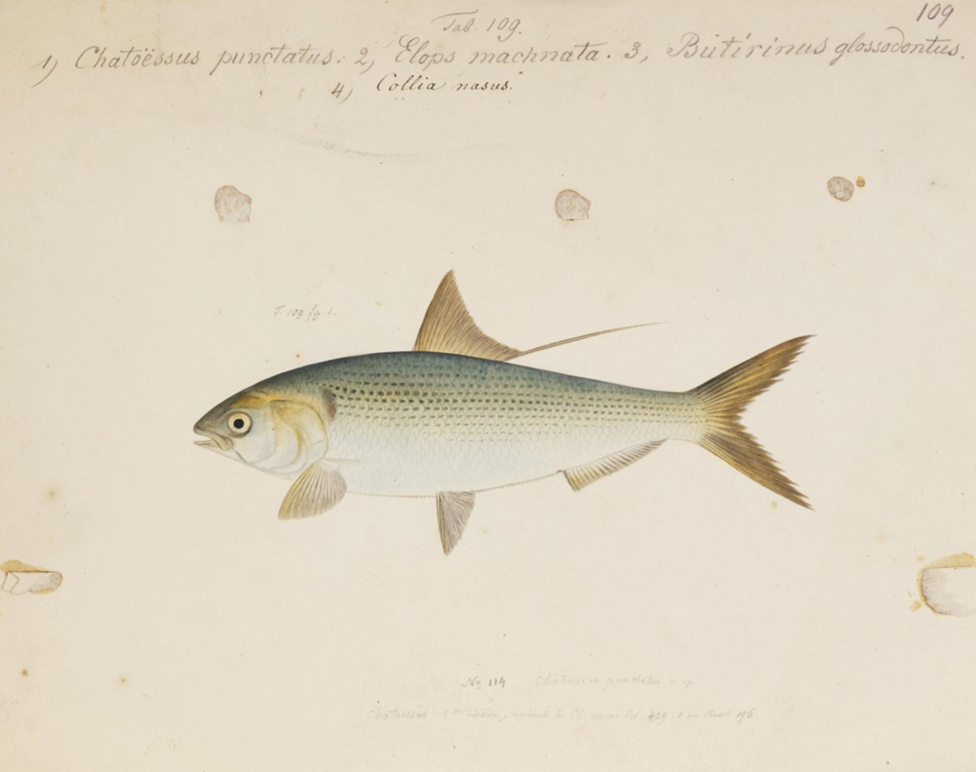 RMNH.ART.149 | Konosirus punctatus