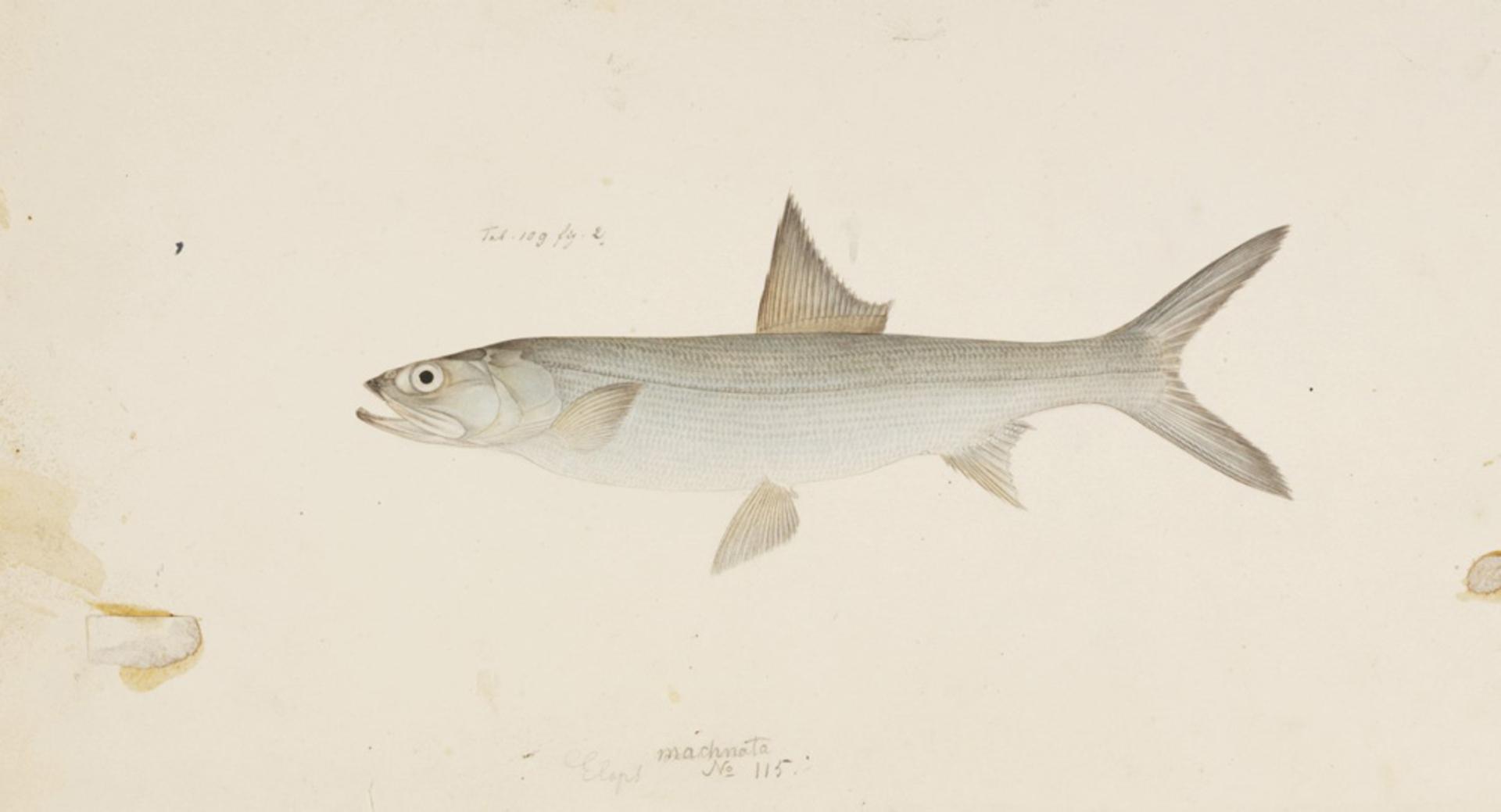 RMNH.ART.150 | Elops machnata