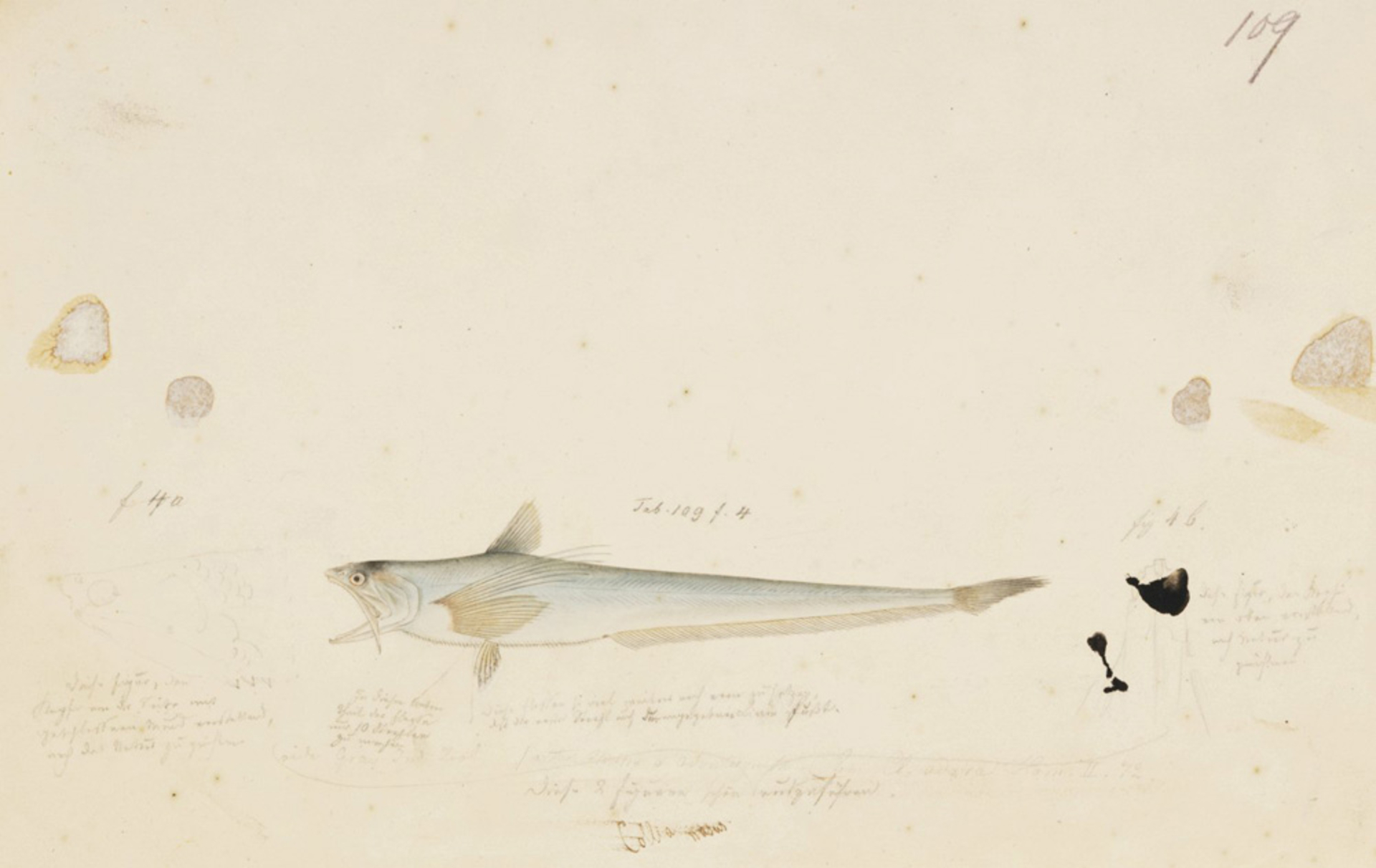 RMNH.ART.153 | Coilia nasus
