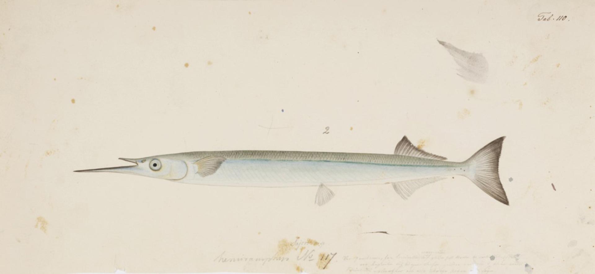 RMNH.ART.154 | Hyporhampus sajori