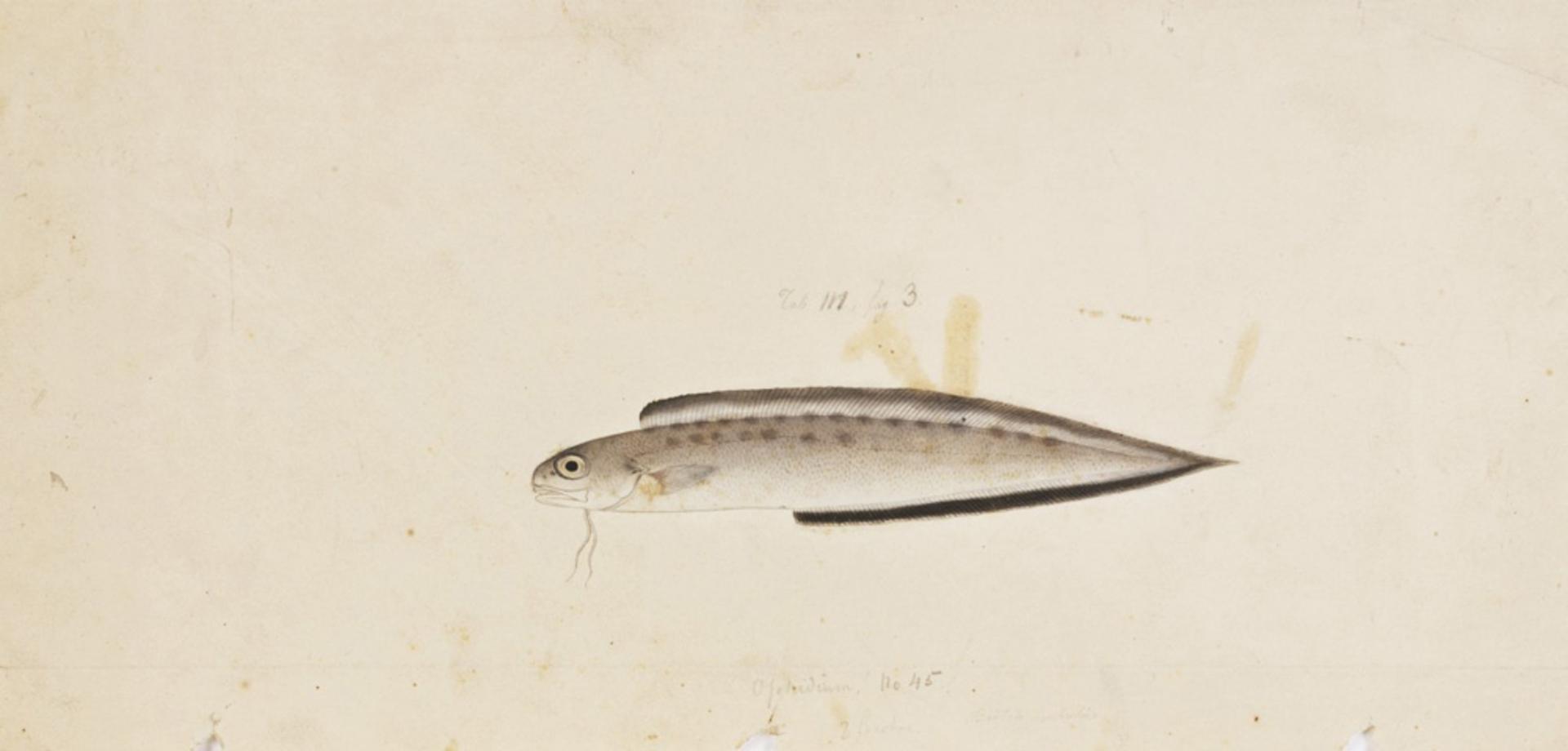 RMNH.ART.156 | Sirembo imberbis