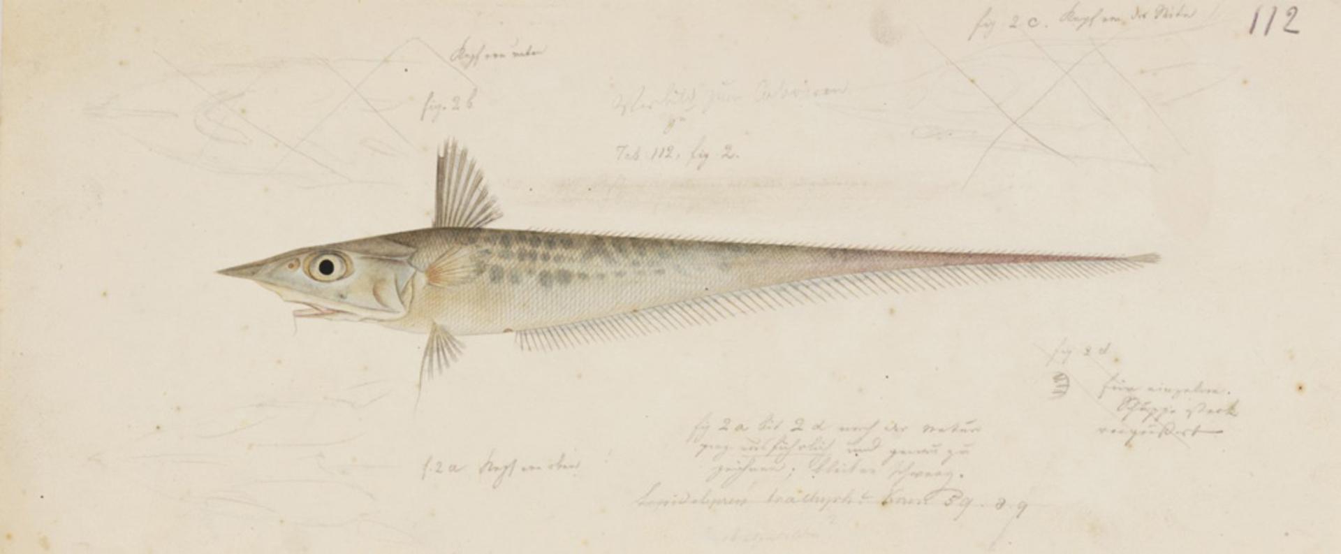 RMNH.ART.158 | Coelorhynchus japonicus