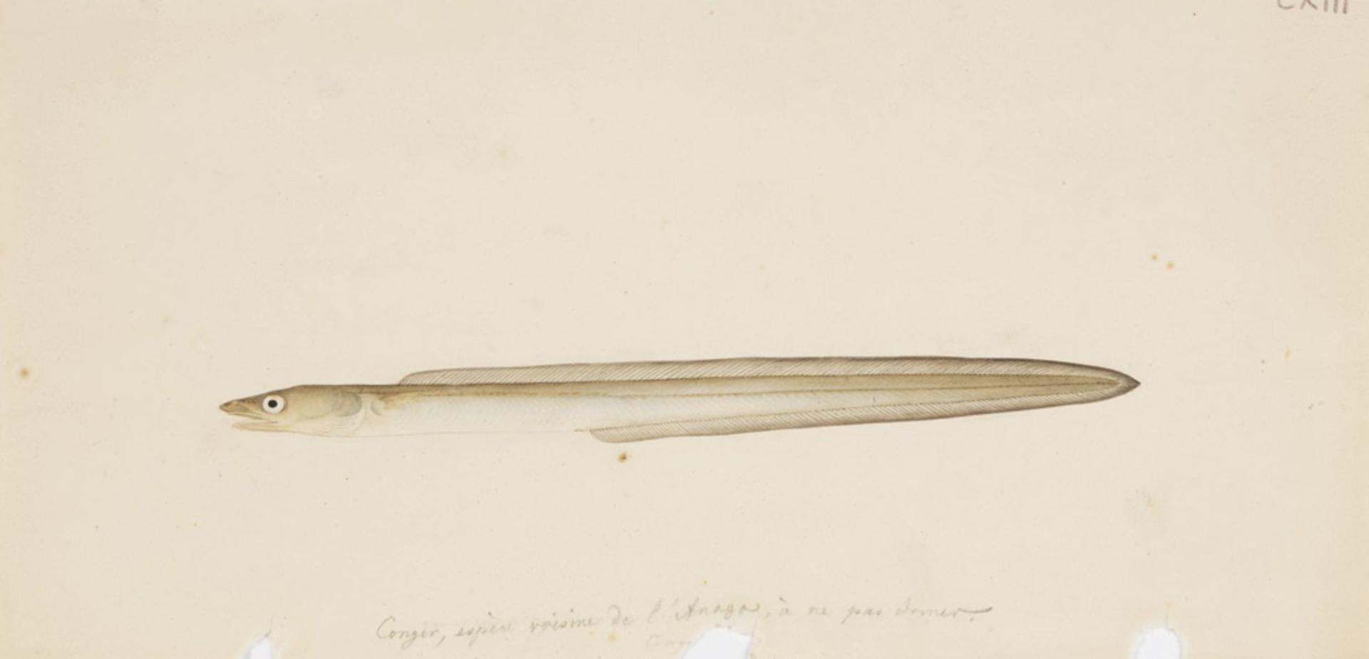 RMNH.ART.159 | Anago anago