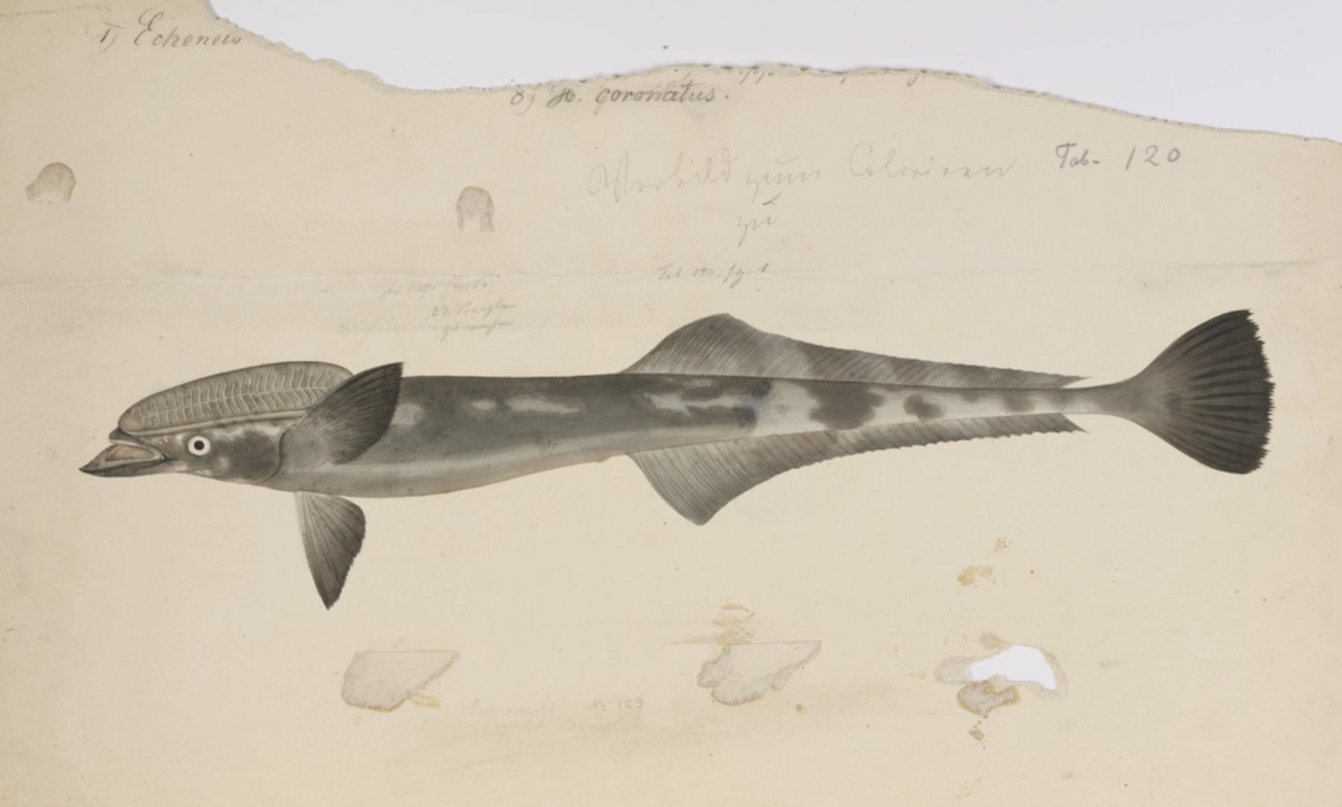 RMNH.ART.163 | Echeneis naucrates