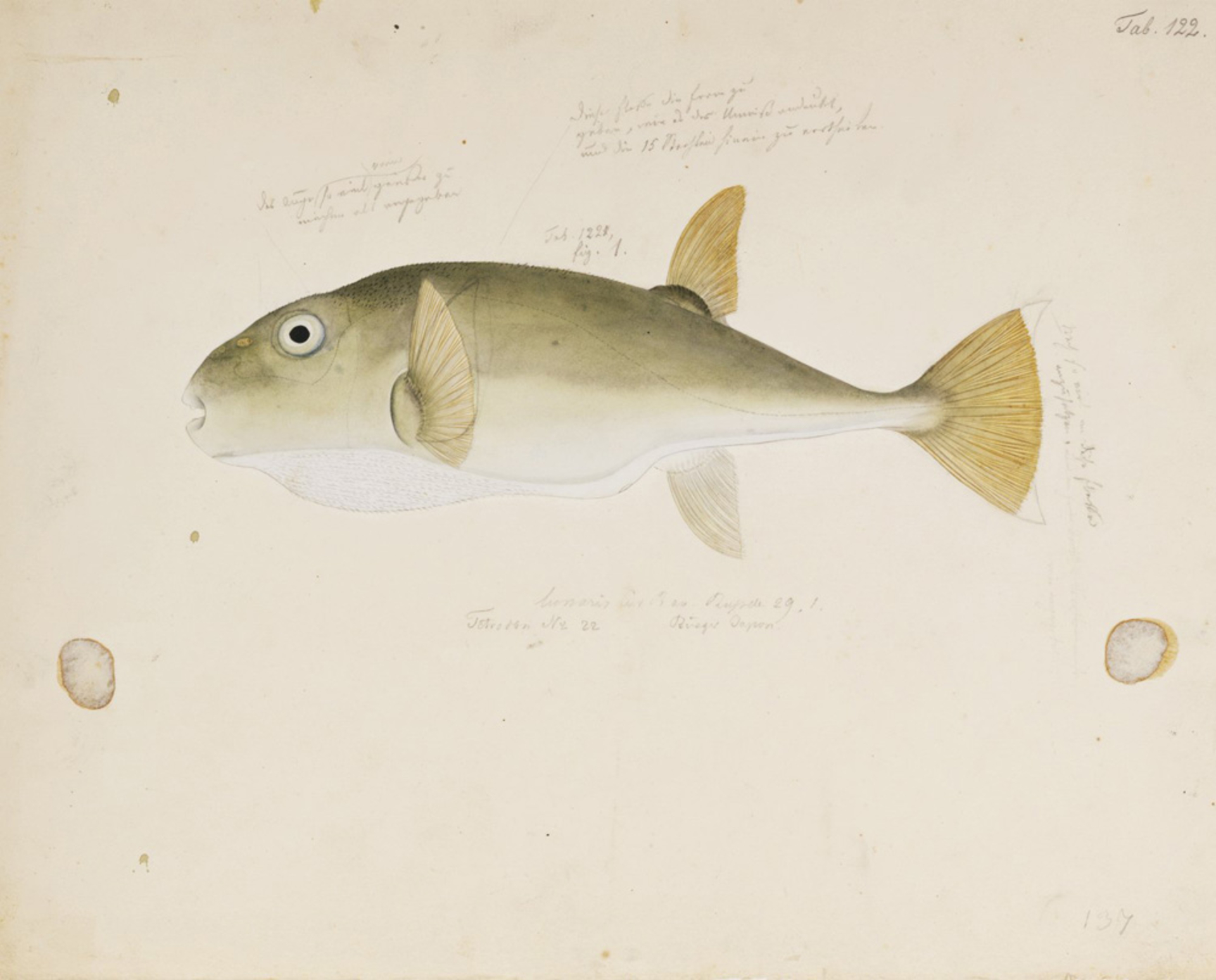 RMNH.ART.166   Lagocephalus sceleratus
